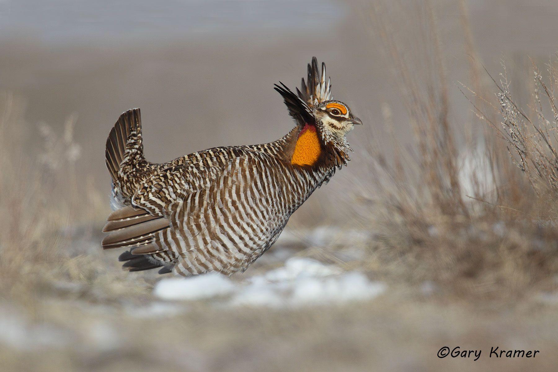 Greater Prairie Chicken (Tympanuchus cupido) - NBGCg#1164d