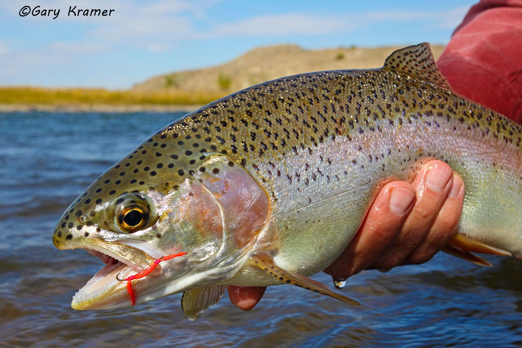 Rainbow Trout w/fly - NFTRf#079d