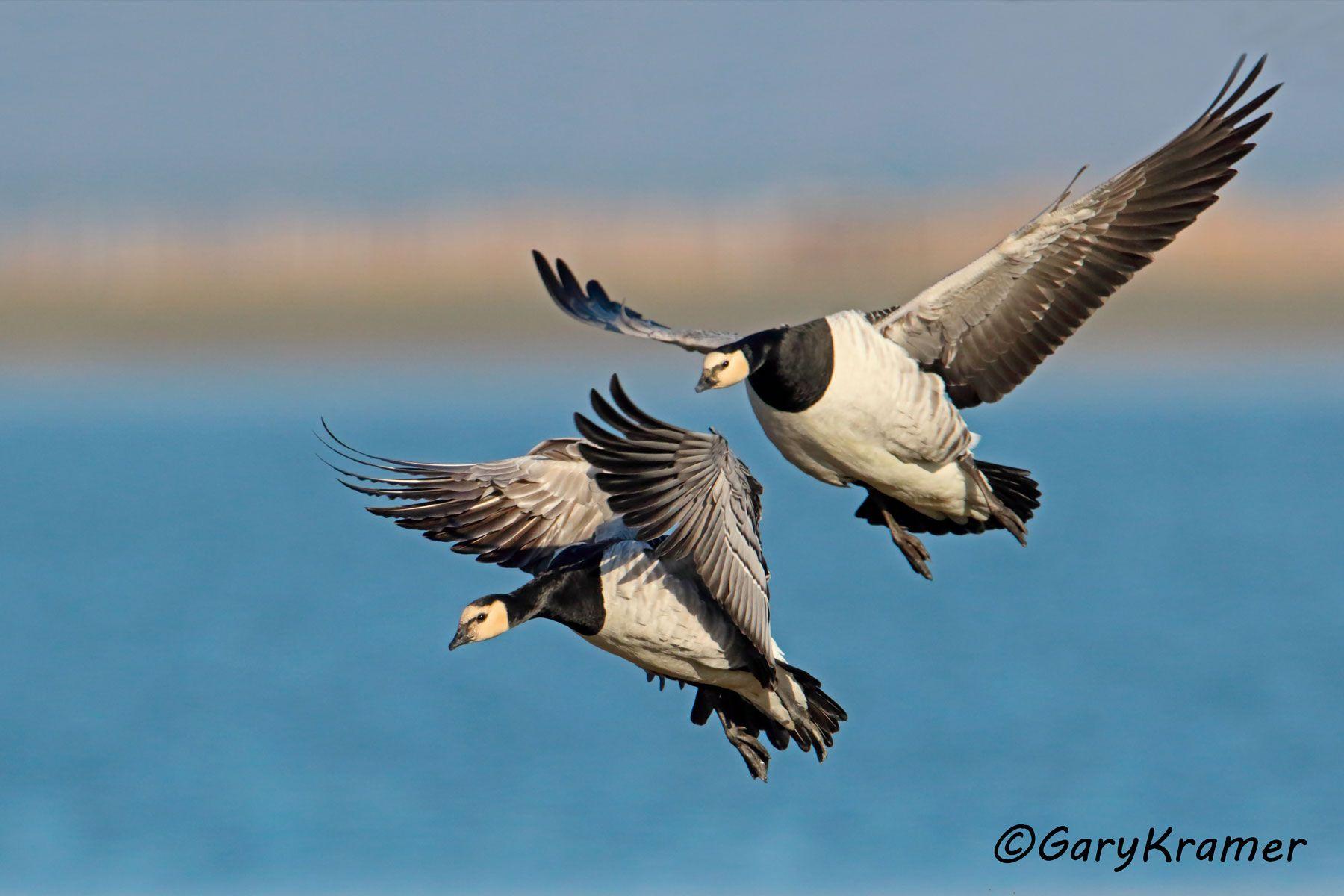 Barnacle Goose (Branta leucopsis) - EBWGb#115d
