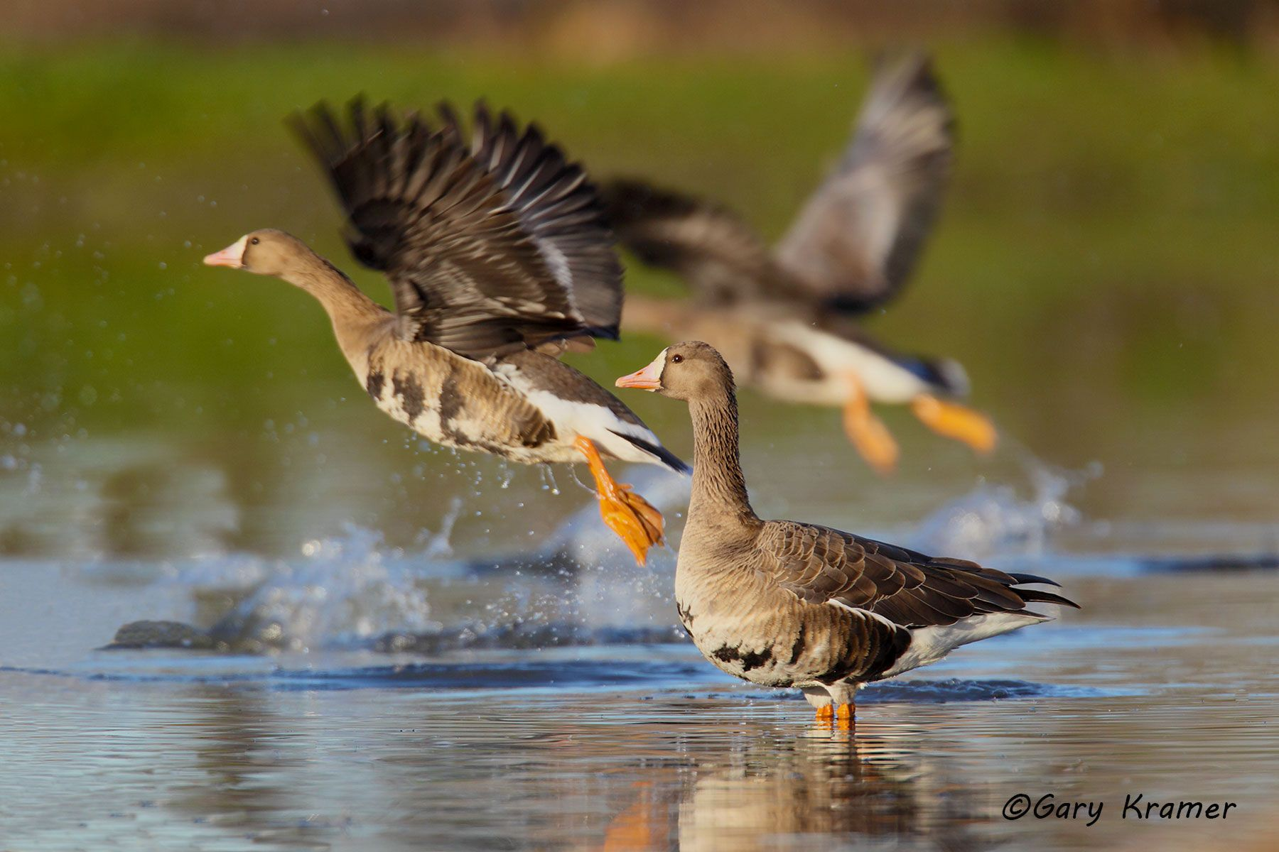 White-fronted Goose (Anser albifrons) - NBWWf#925d