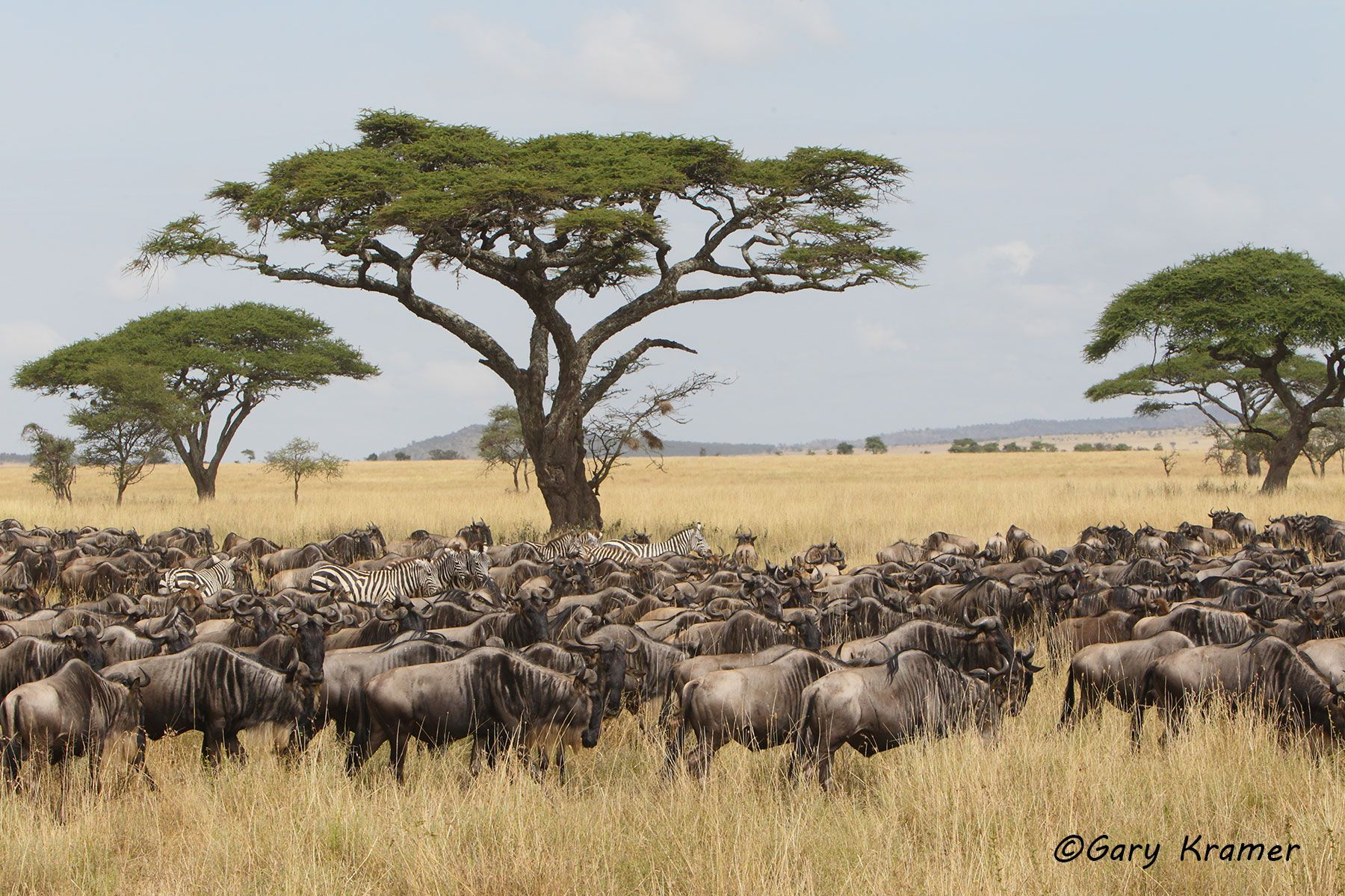 AWildebeest/Plains Zebra (C. taurinus/Equus quagga) Maasai Mara N. R. Kenya - MUBZ#032d.jpg