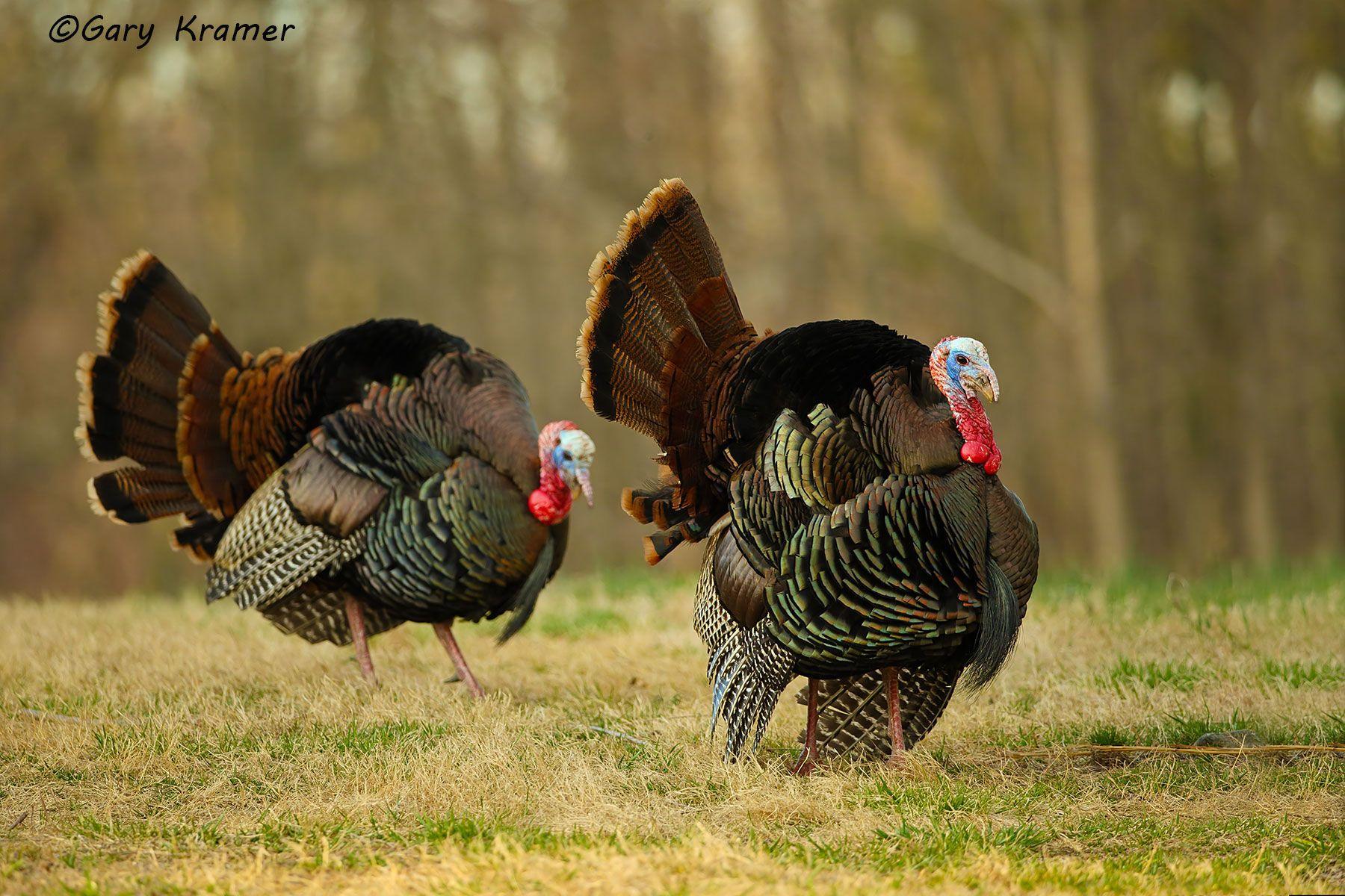 Wild Turkey (Eastern) (Meleagris gallopavo silvestris) - NBGTe#1103d