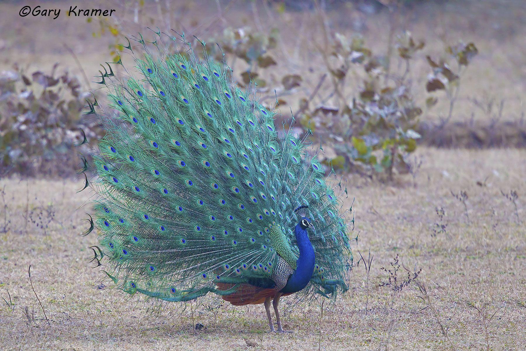 Indian (Common) Peafowl (Pavo cristatus) - AsBP#011d