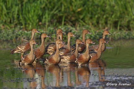 Plumed Whistling Duck (Dendrocygna eytoni) Australia - OBWWp#181d