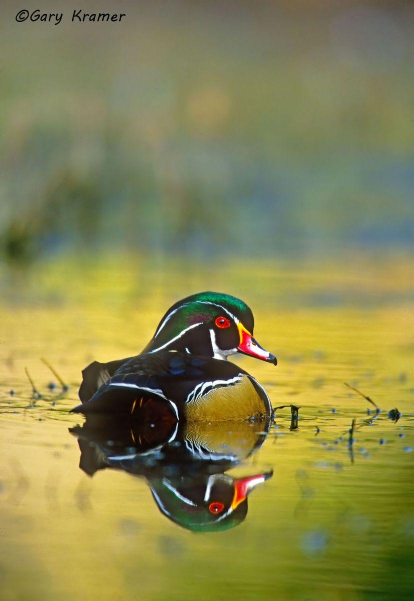 Wood Duck (Aix sponsa) - NBWWd#177