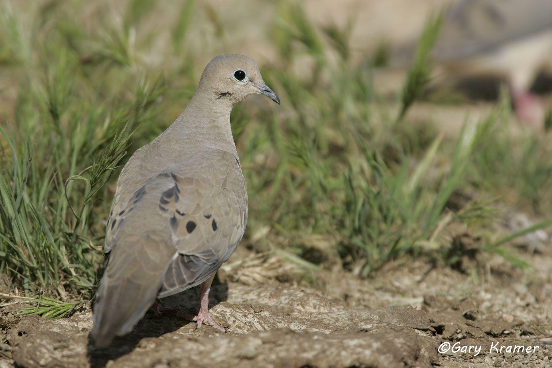 Mourning Dove (Zenaida macroura) - NBDM#225d