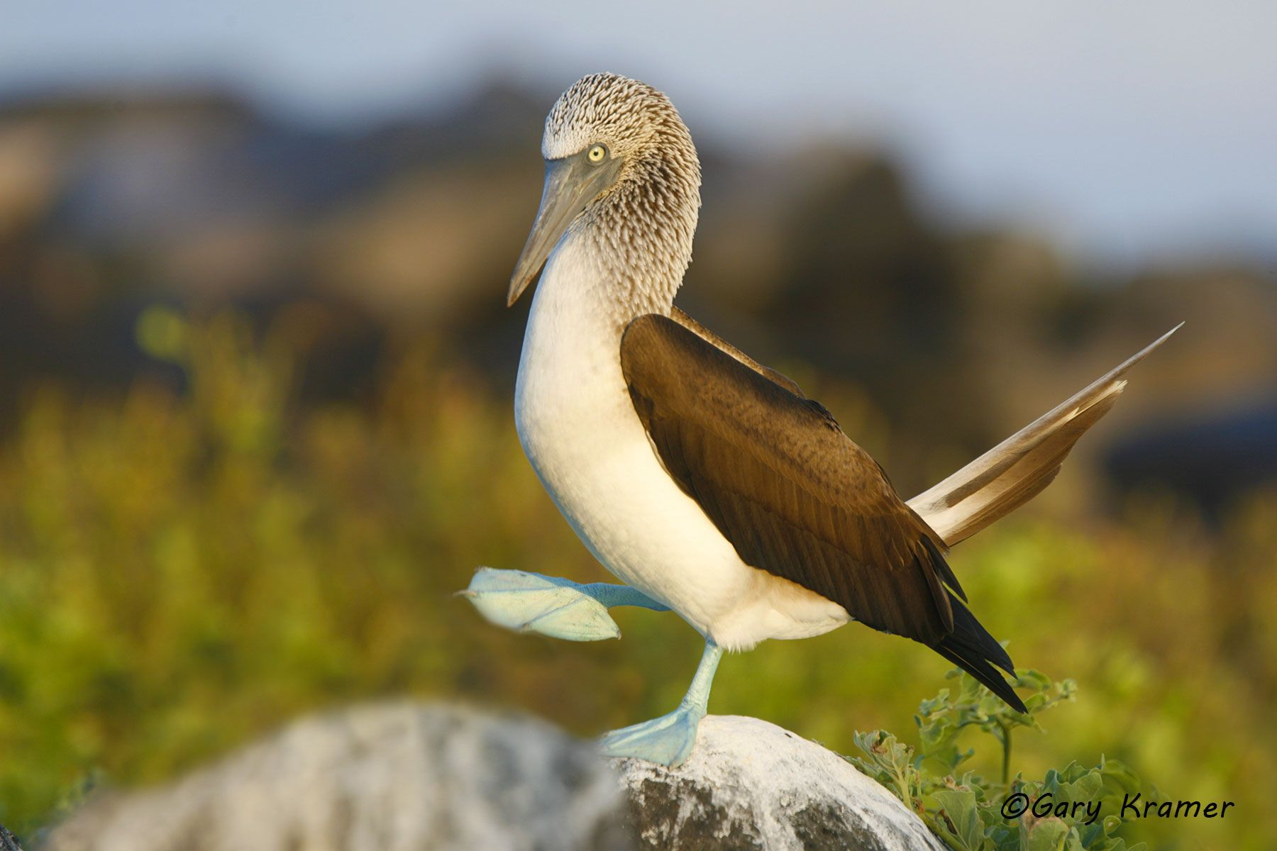 Blue-footed Booby (Sula nebouxii) - NBBB#016d.jpg