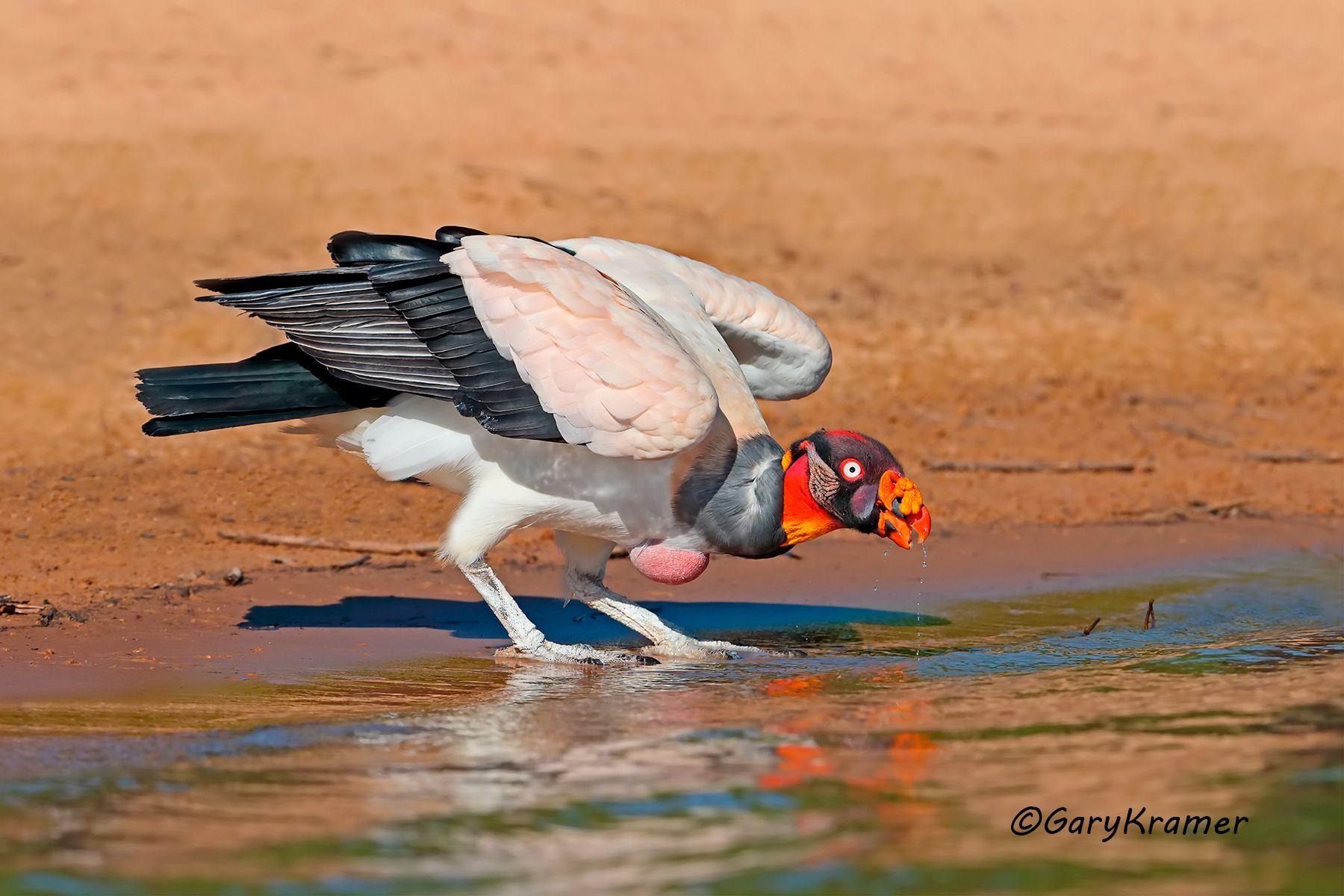 King Vulture (Sarcoramphus papa) - SBVk#036d