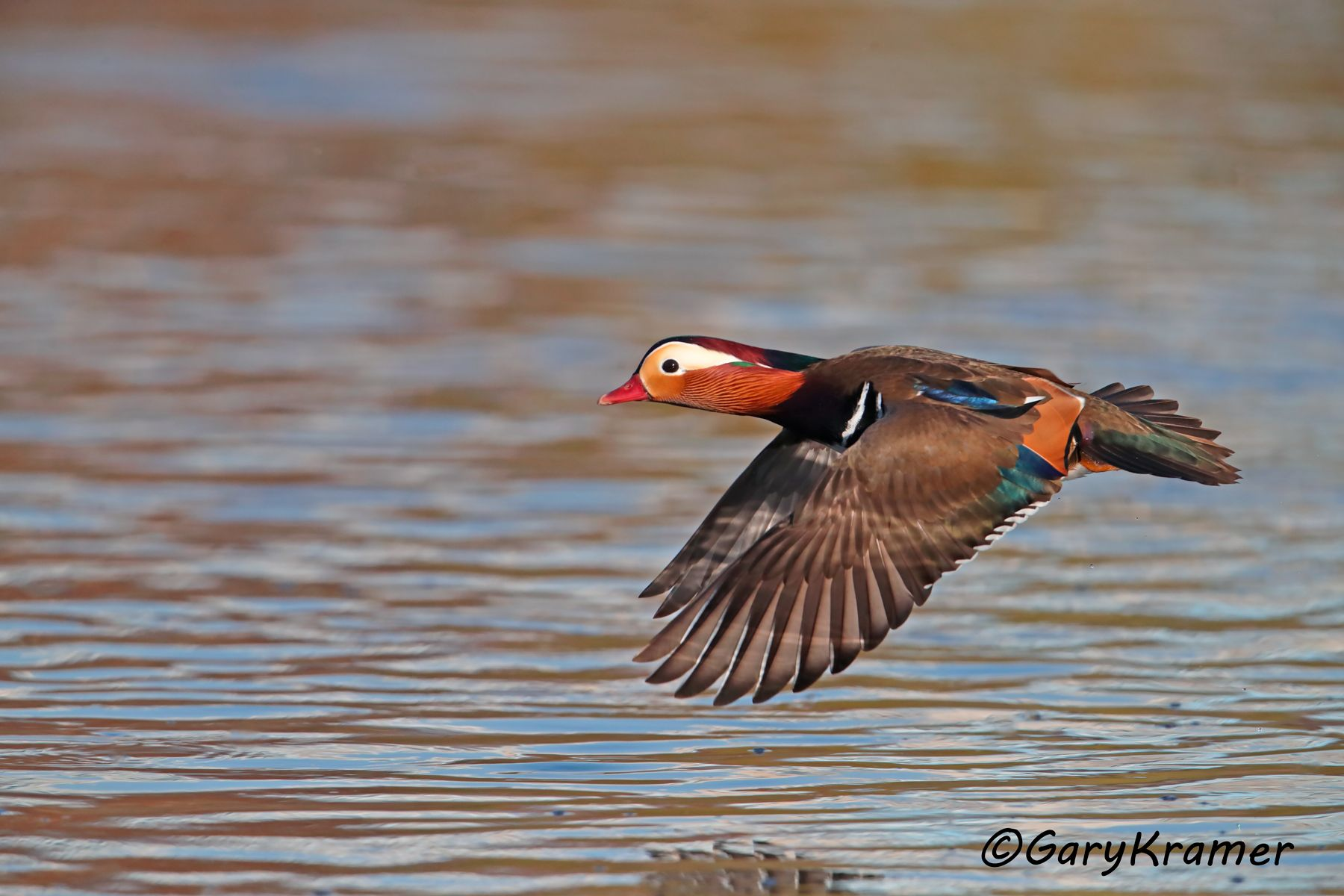 Mandarin Duck (Aix galericulata) - EBWM#163d
