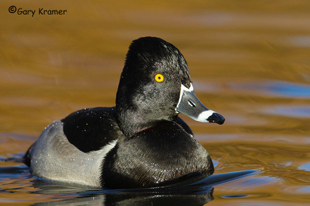 Ring-necked Duck - Scaup - Goldeneye