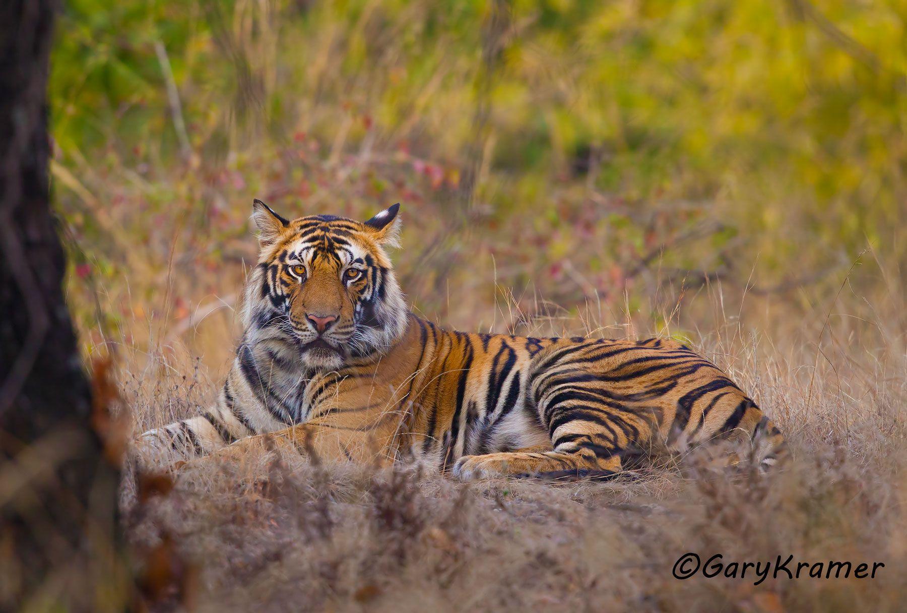 Tiger (Bengal) (Panthera tigrus tigrus) - AMTb#141d