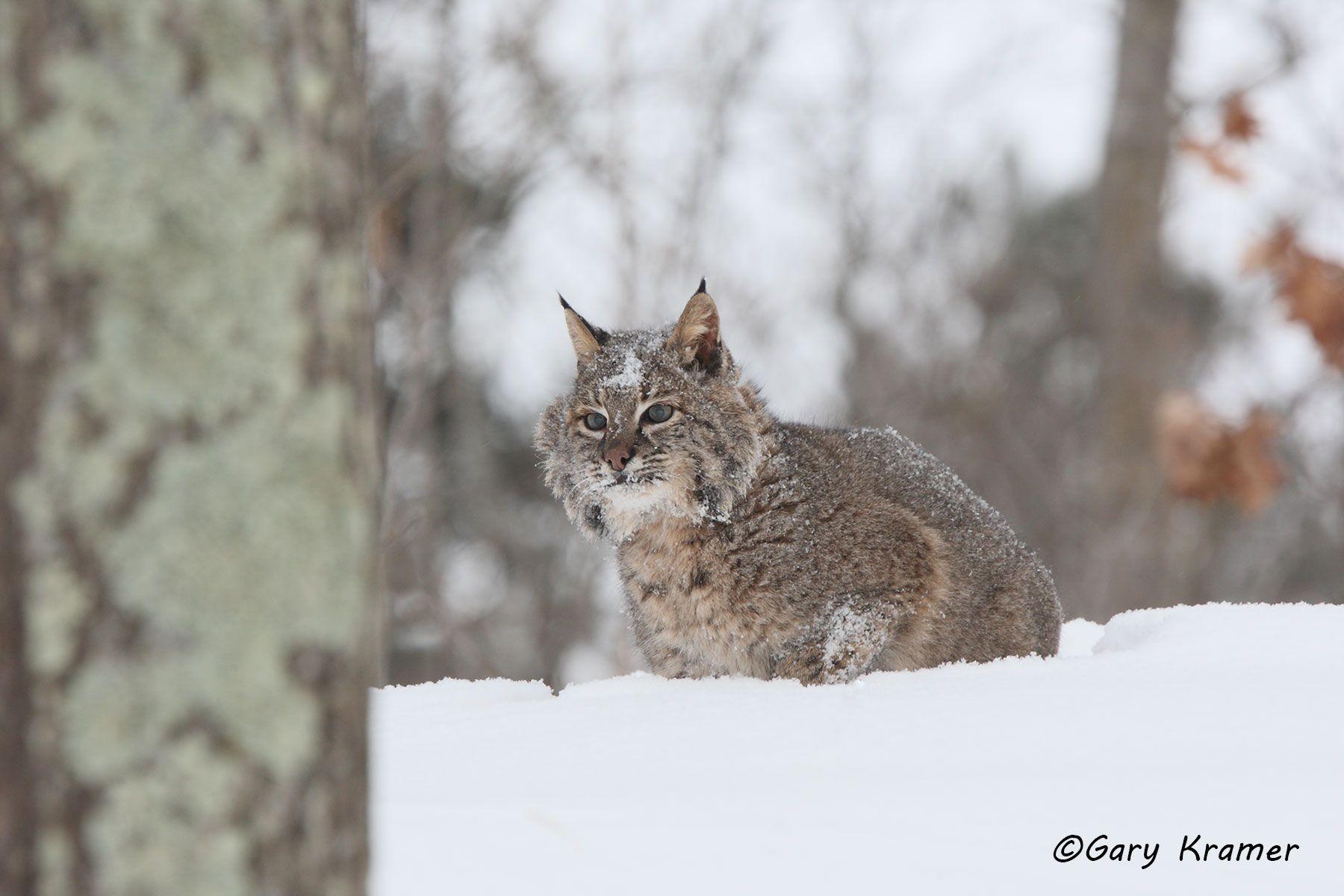 Bobcat (Lynx rufus)- NMCB#220d