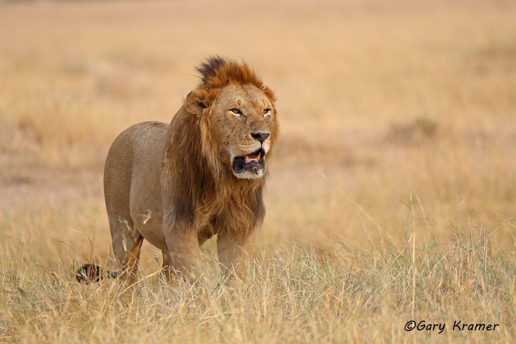 African Lion (Panthera leo) - AMPA#1008d