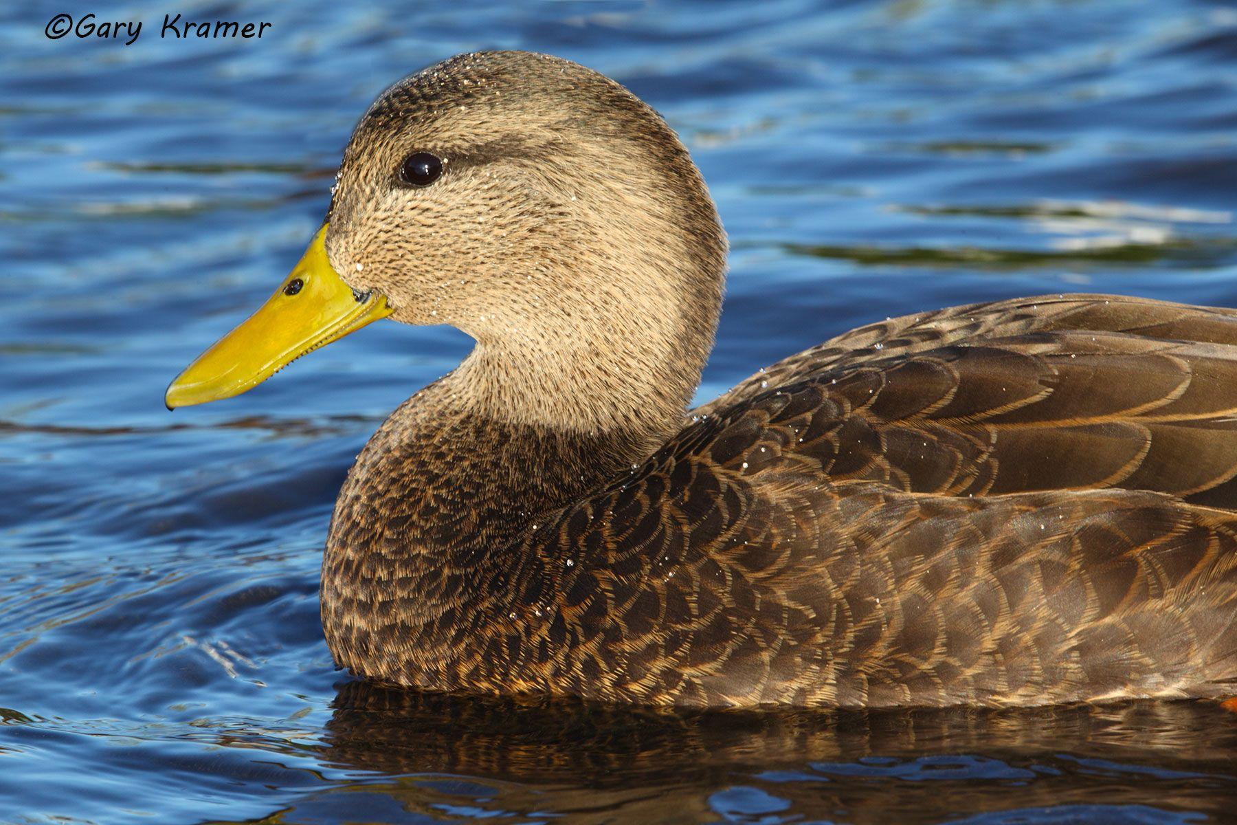 American Black Duck (Anas rubripes) - NBWBb#672d