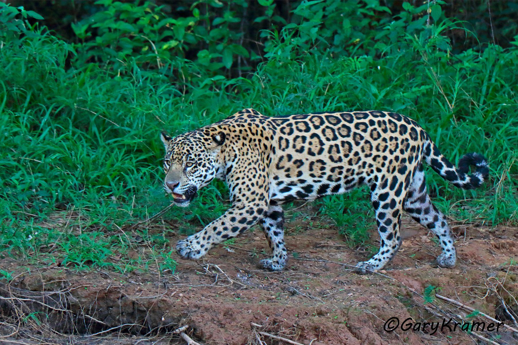 Jaguar (Puma onca) - SMJp#366d