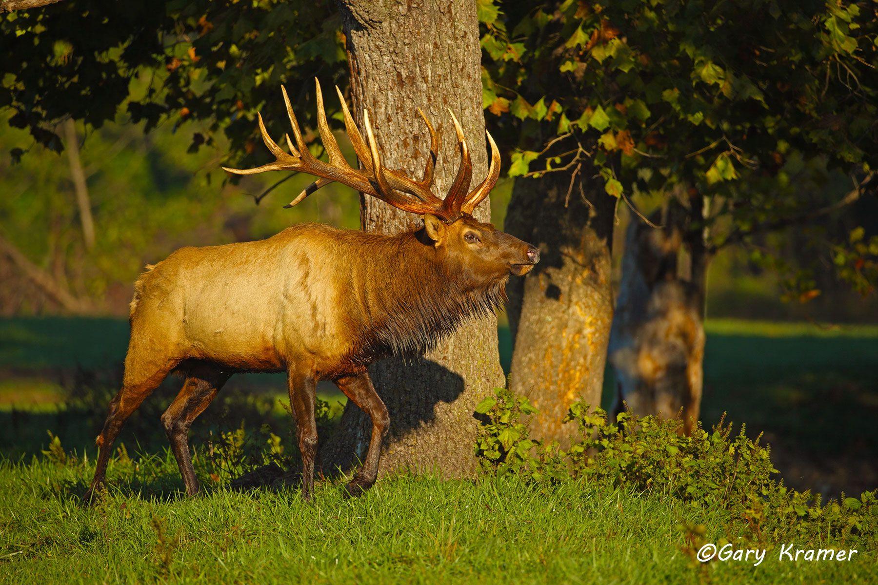 Rocky Mountain Elk (Cervus elaphus nelsoni) - NMERm#2229d