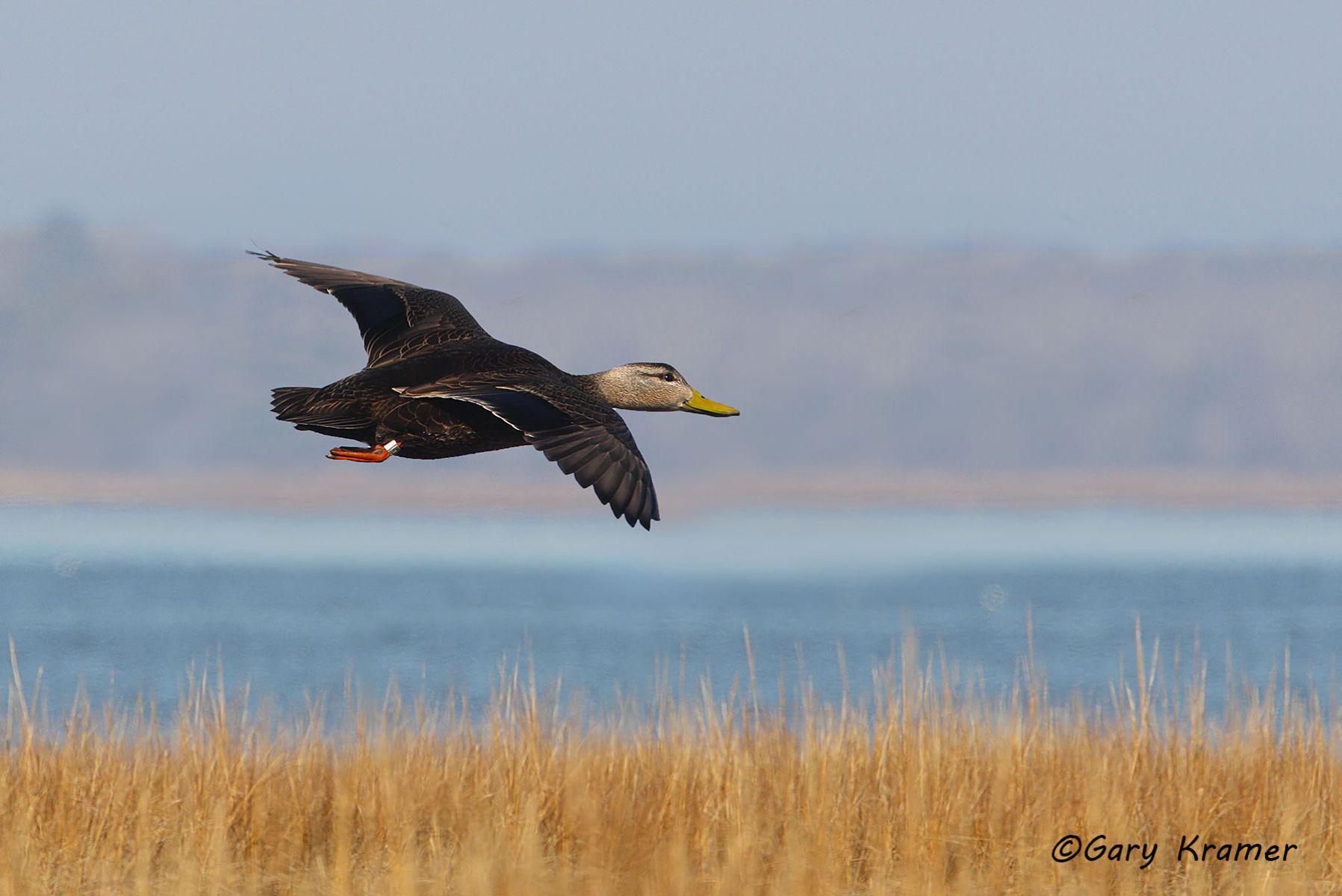 American Black Duck (Anas rubripes) - NBWBb#519d(2)