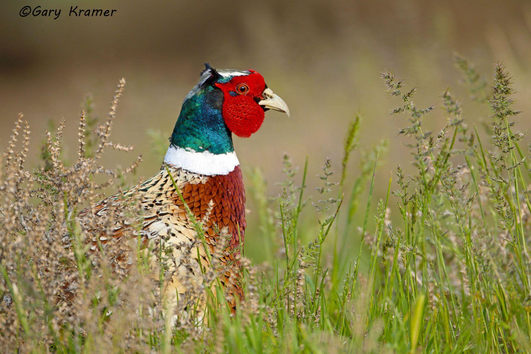 Ring-necked Pheasant (Phasianus colchicus) - NBGP#2278d