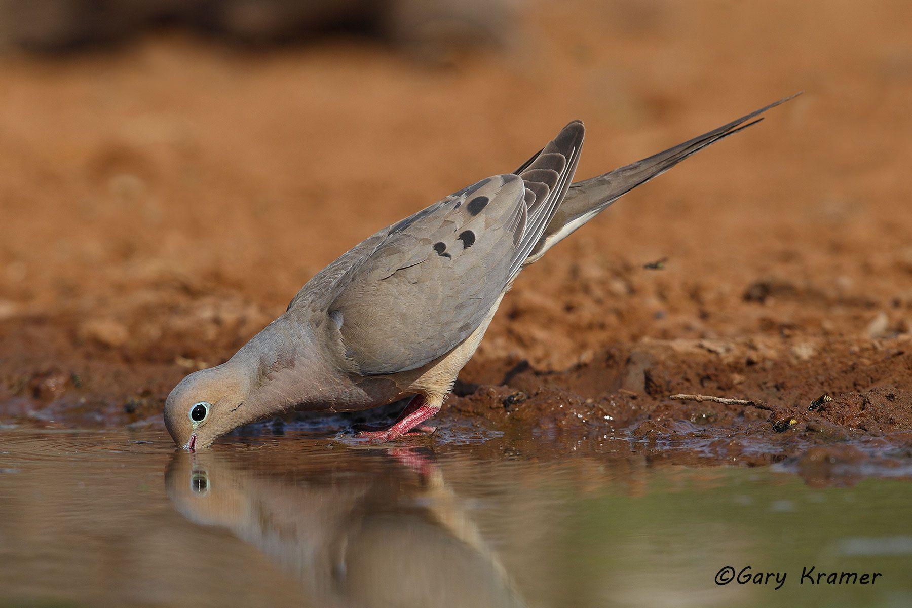 Mourning Dove (Zenaida macroura) - NBDM#440d