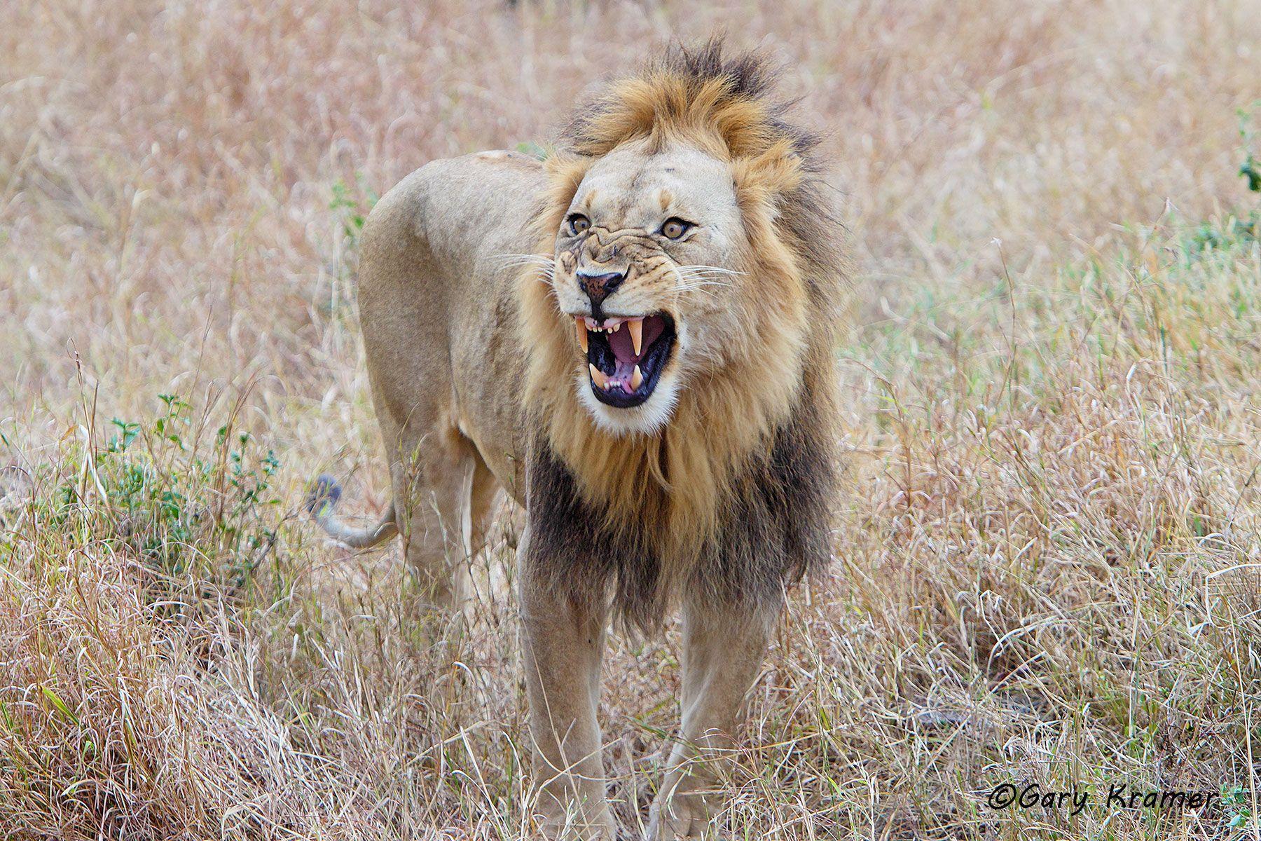 African Lion (Panthera leo) - AMPA#534d