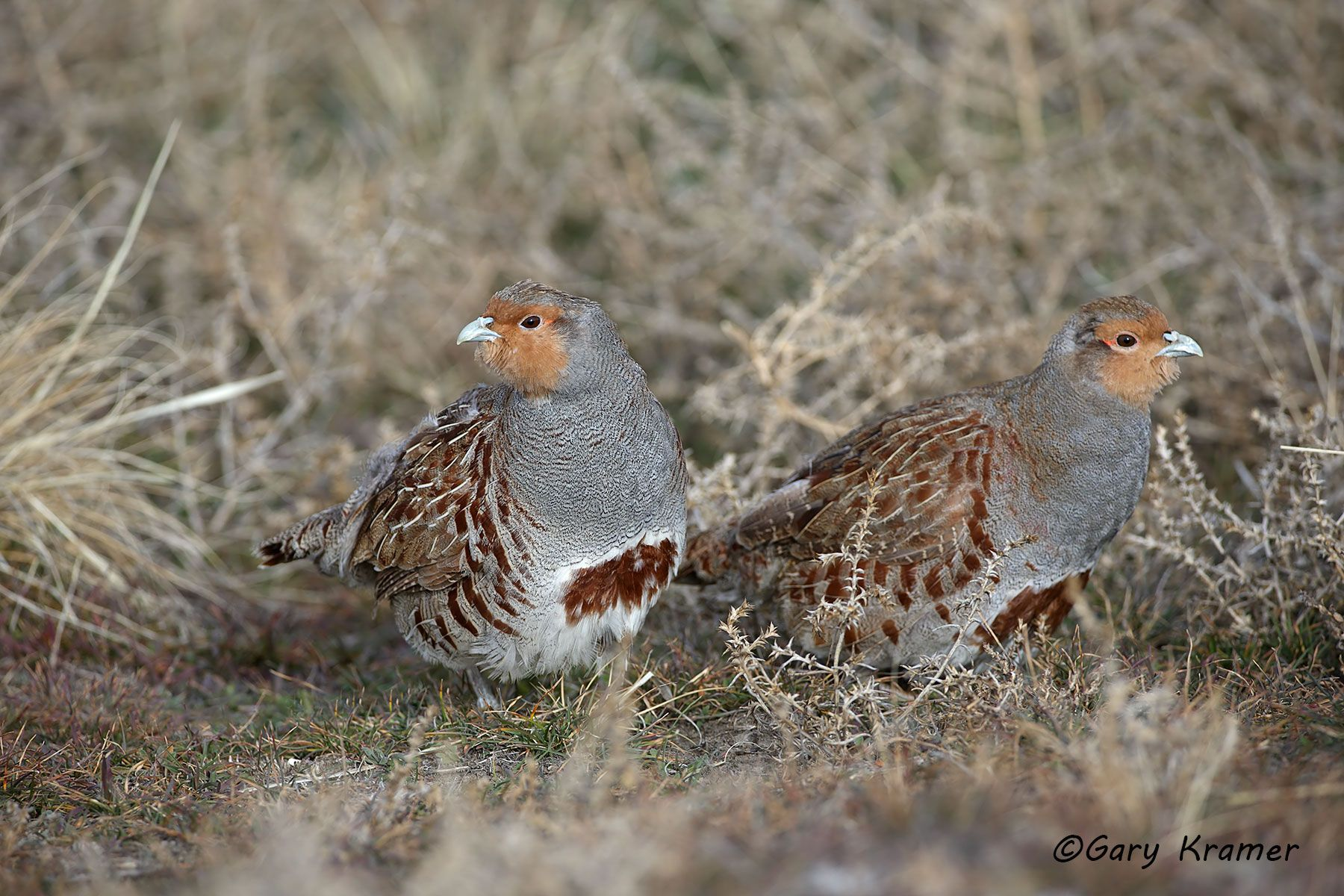 Gray (Hungarian) Partridge (Perdix perdix) - NBGGp#249d