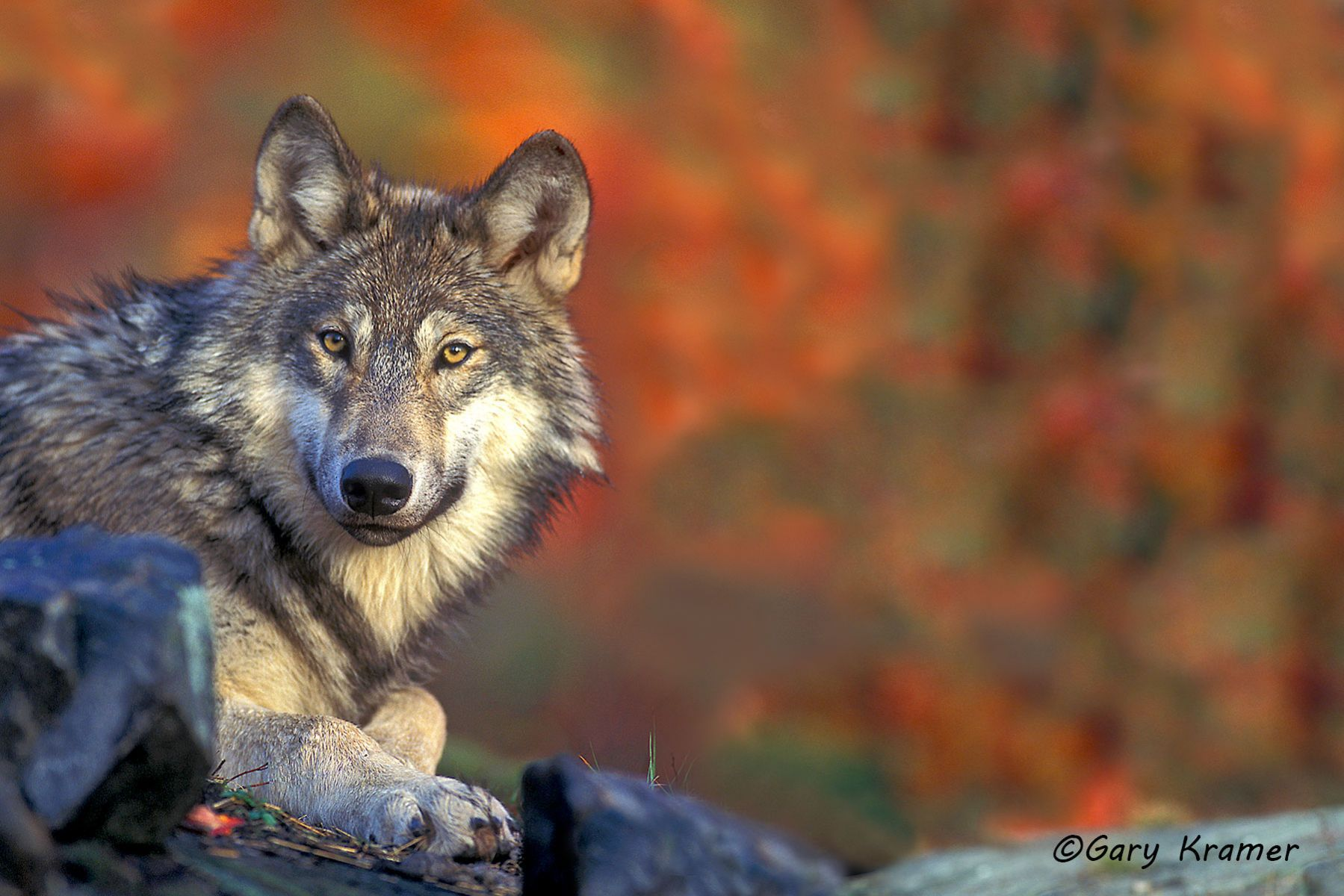 Gray Wolf (Canis lupus) - NMWg#317(2)