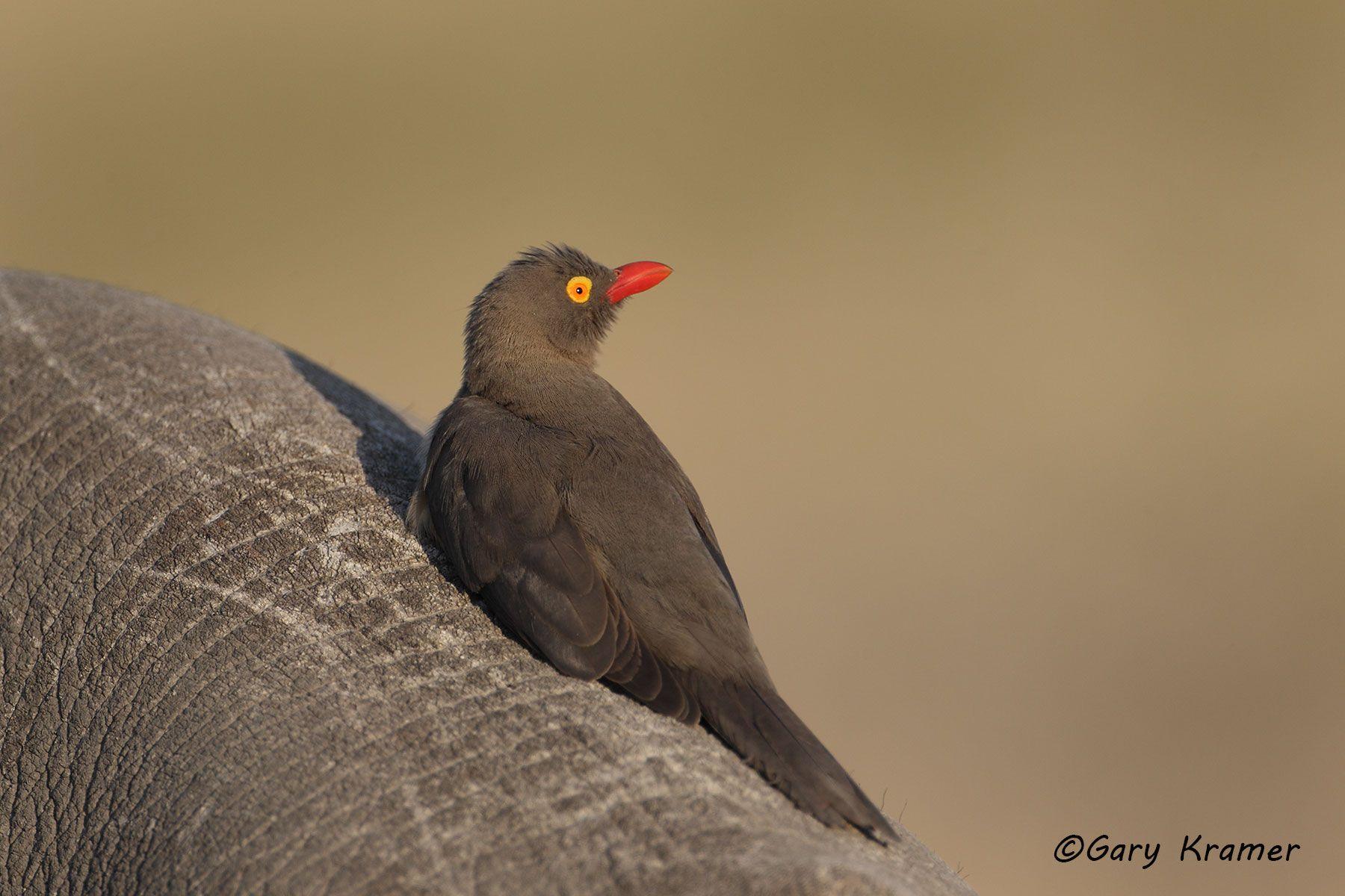 Red-billed Oxpecker (Buphagus erythrorhynchus) - ABXr#050d