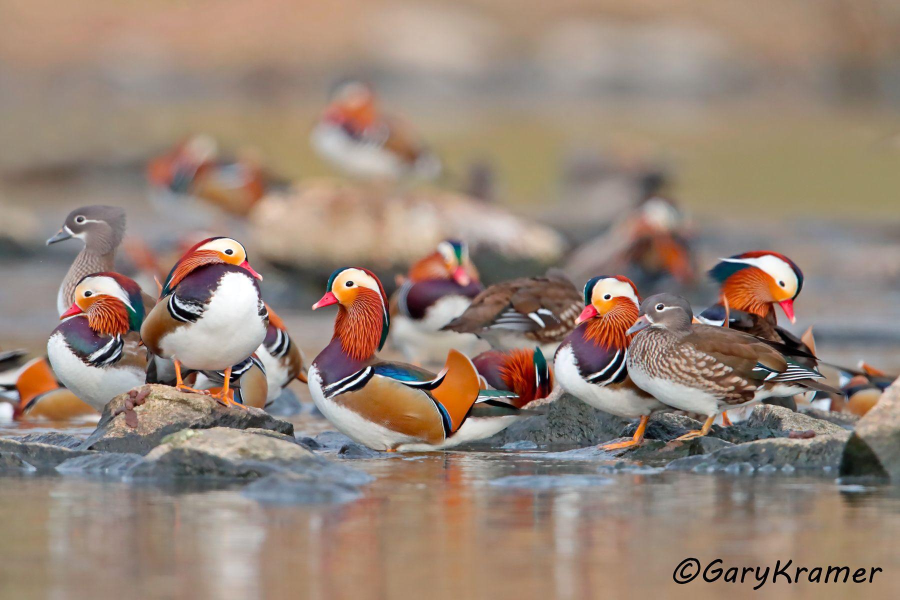 Mandarin Duck (Aix galericulata) - EBWM#304d(2)