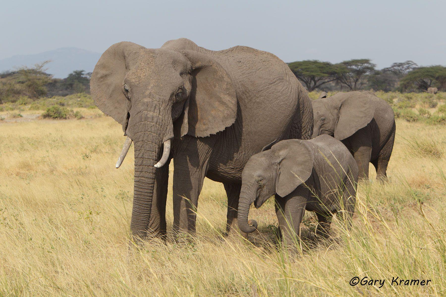 African Elephant (Loxodonta africana) - AME#650d.jpg