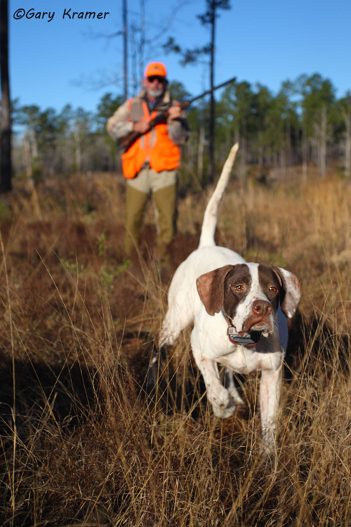 Upland bird hunter & Pointer - NHUp#367d
