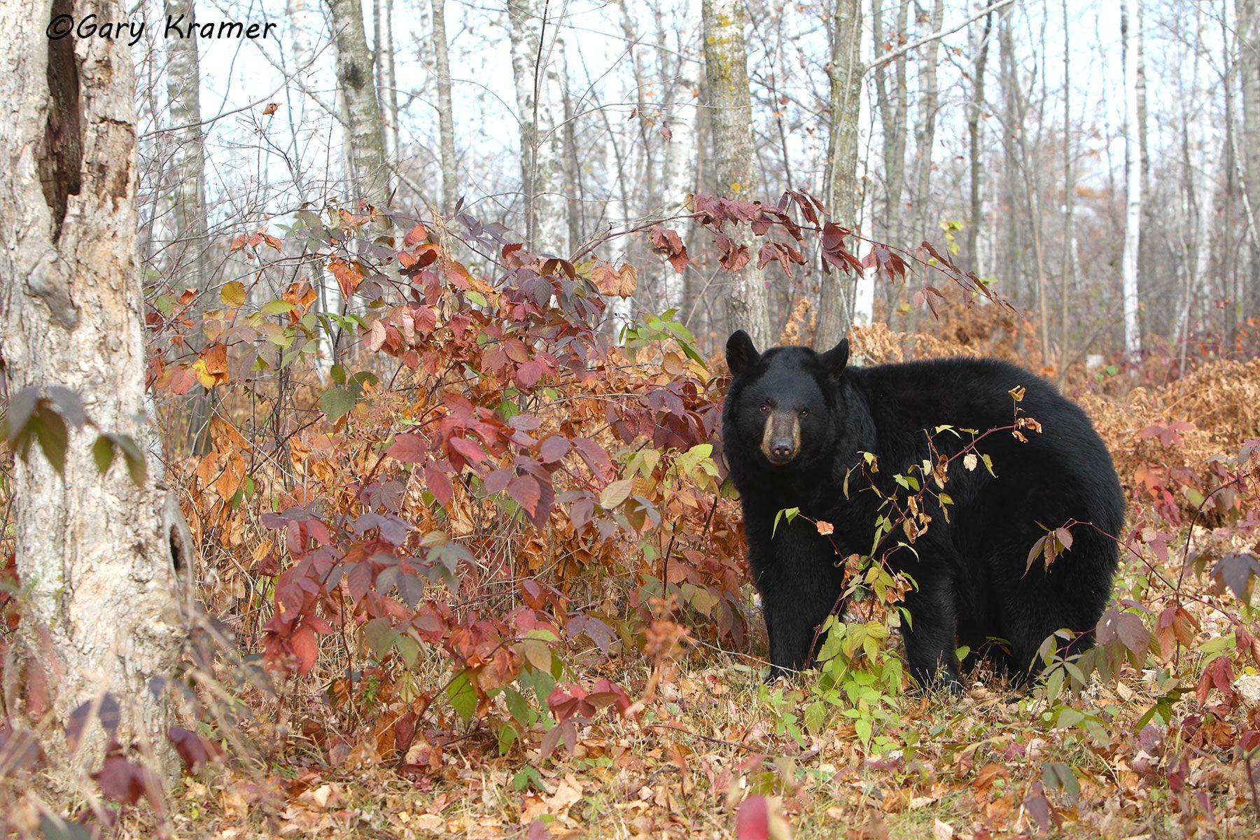 Black Bear (Urusus americanus) - NMBb#808d
