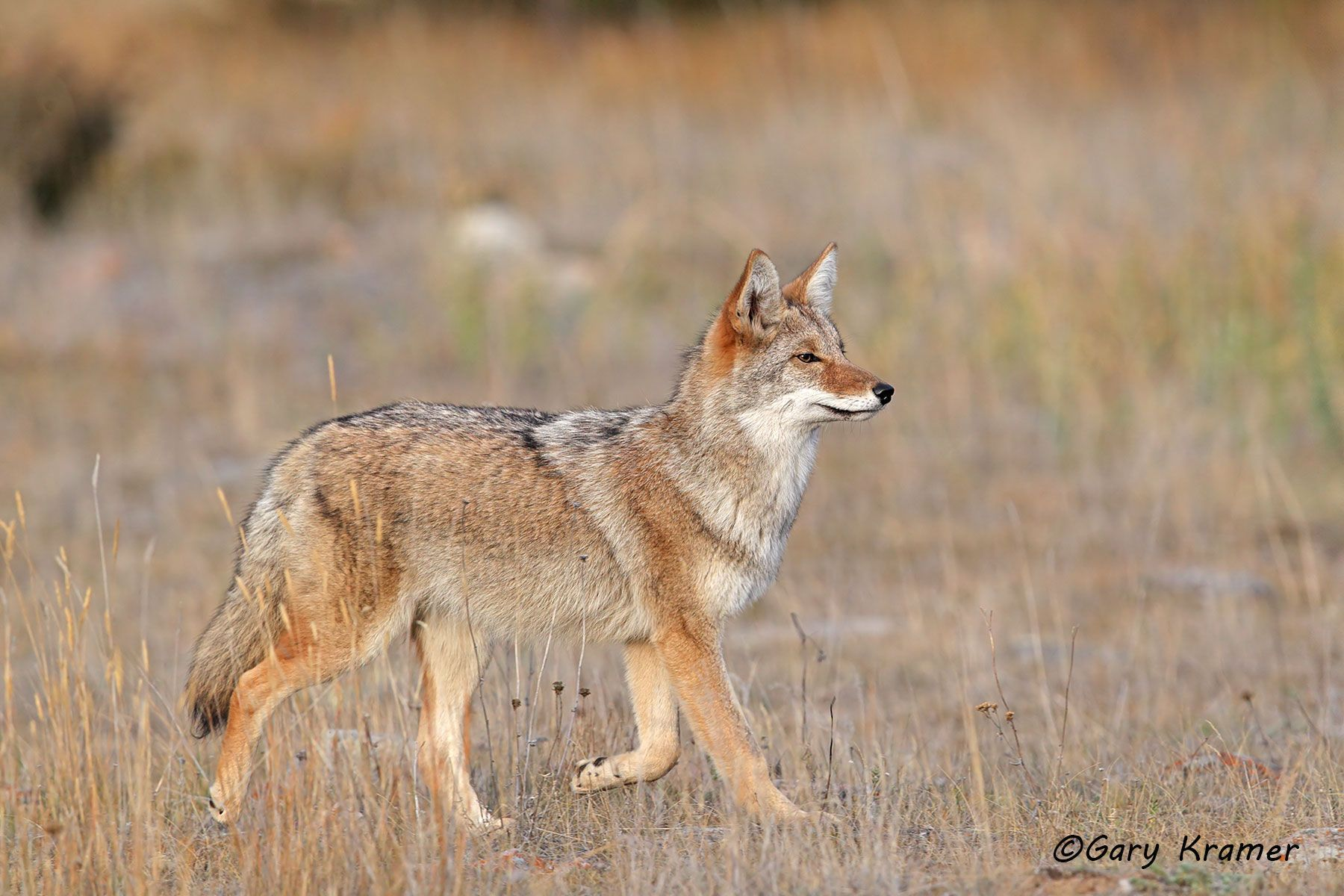 Coyote (Canis latrans) - NMC#1146d