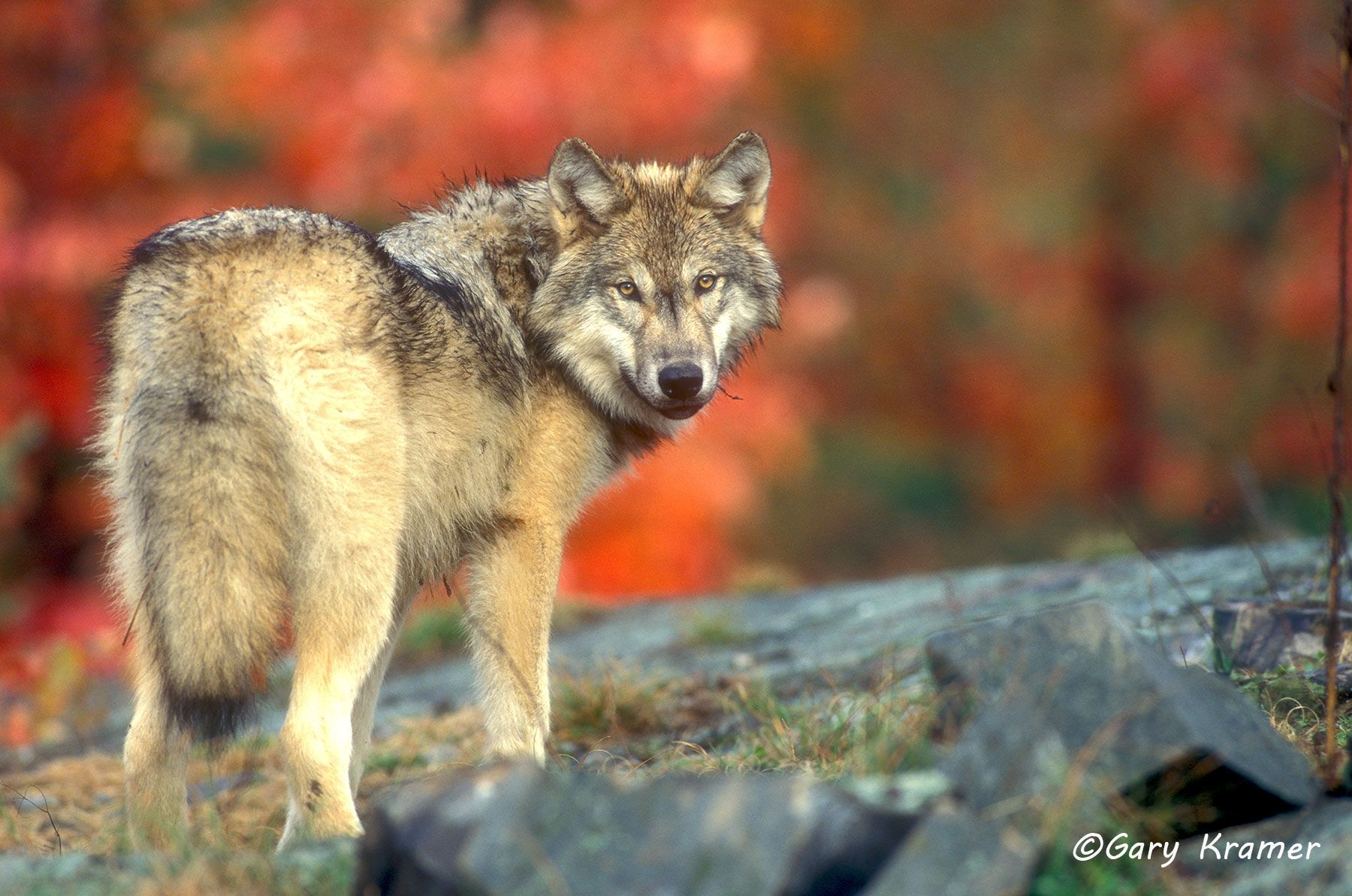 Gray Wolf (Canis lupus) - NMWg#430