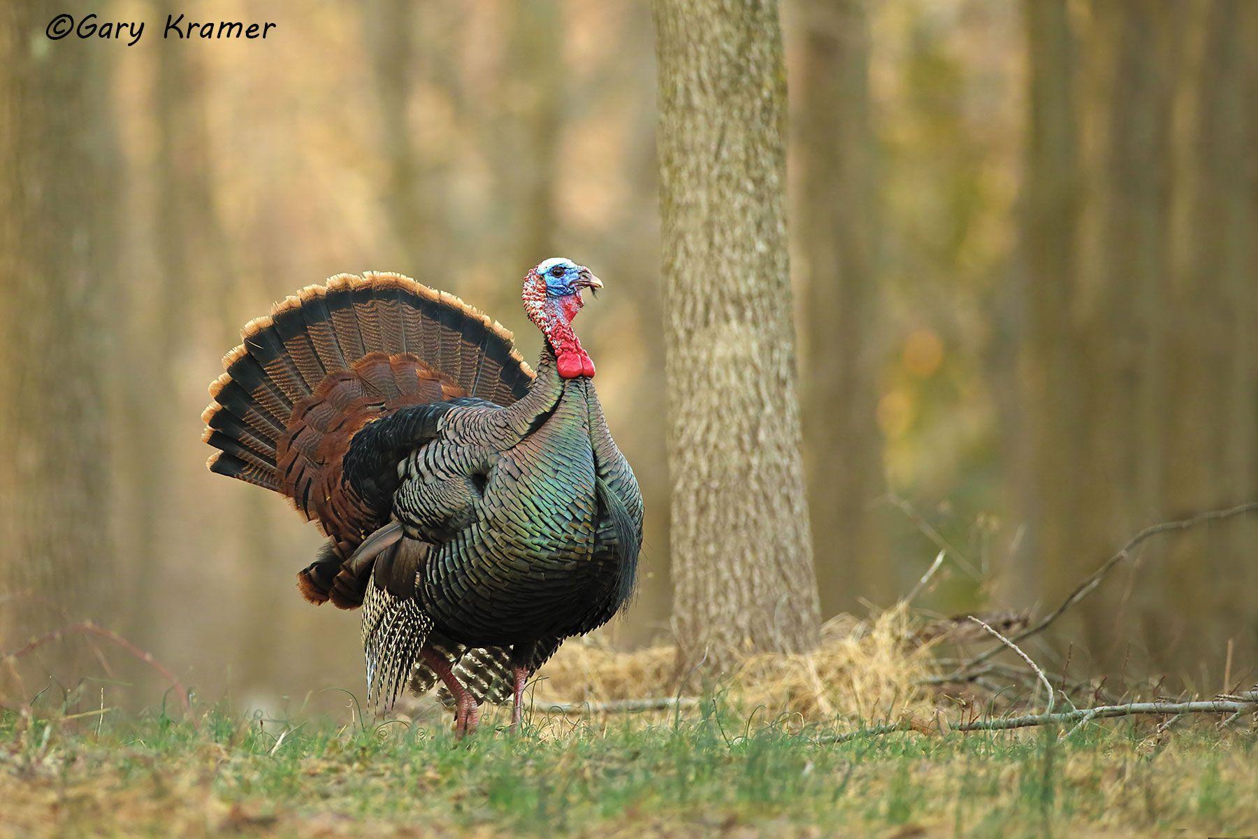 Wild Turkey (Eastern) (Meleagris gallopavo silvestris) - NBGTe#1014d