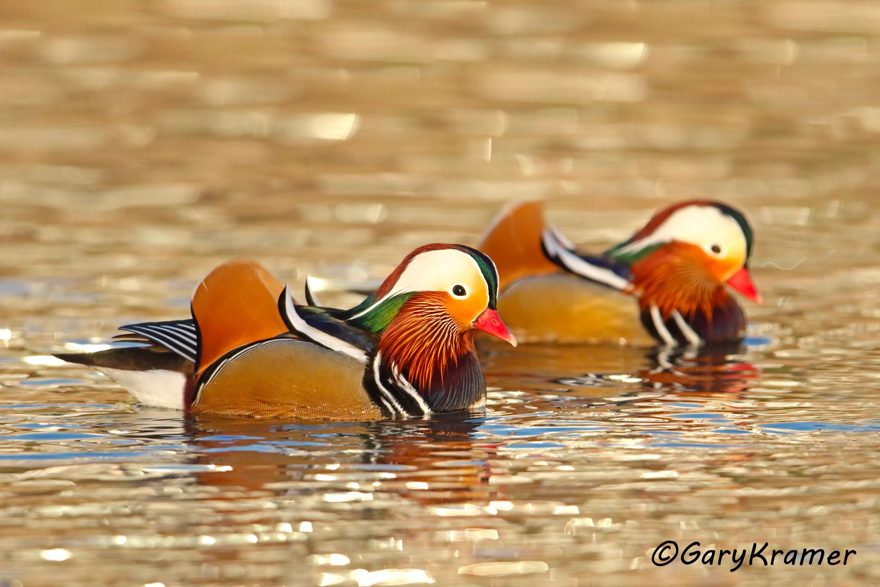 Mandarin Duck (Aix galericulata) - EBWM#233d