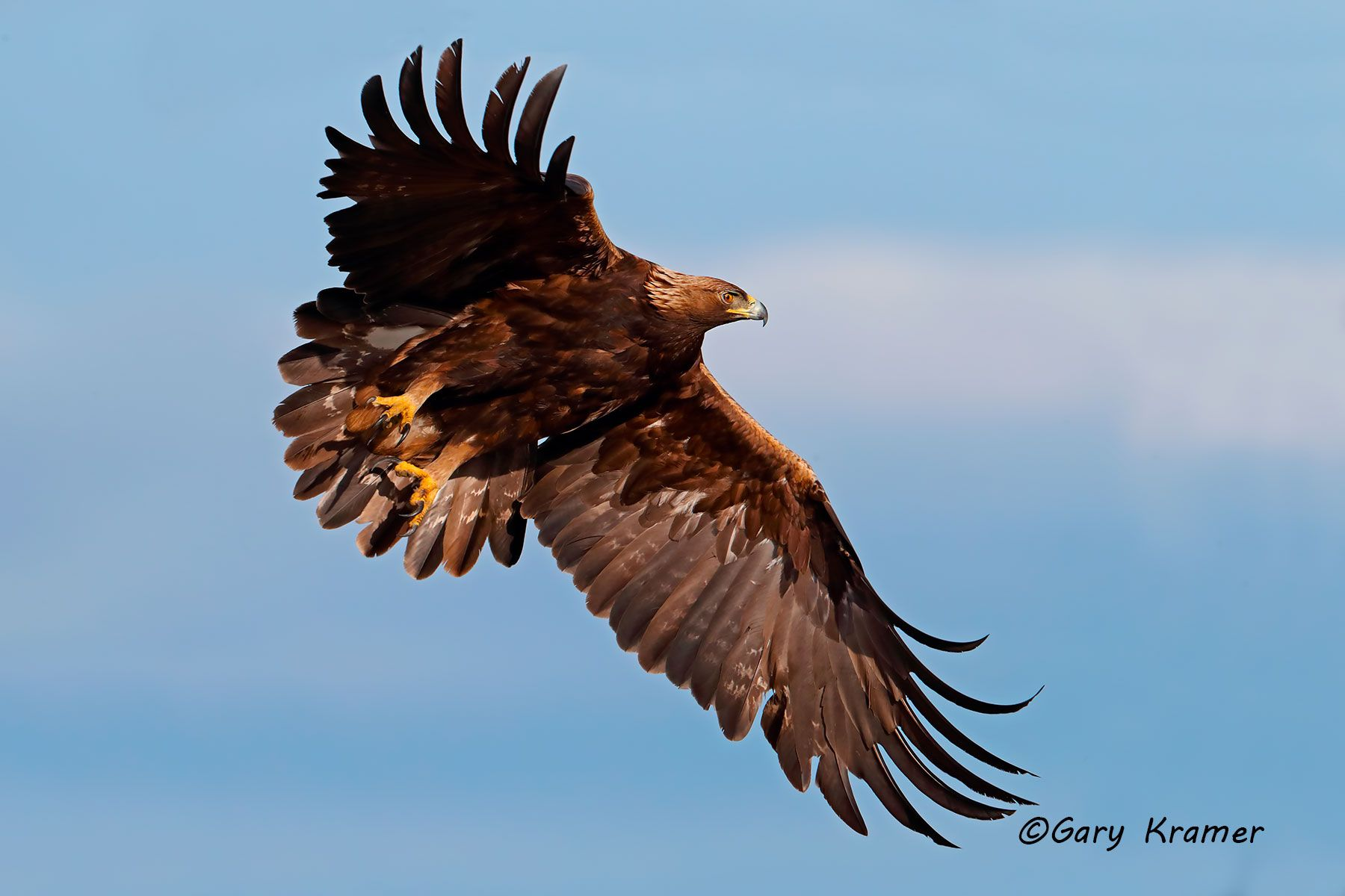 Golden Eagle (Aguila chrysaetos) - NBEg#033d