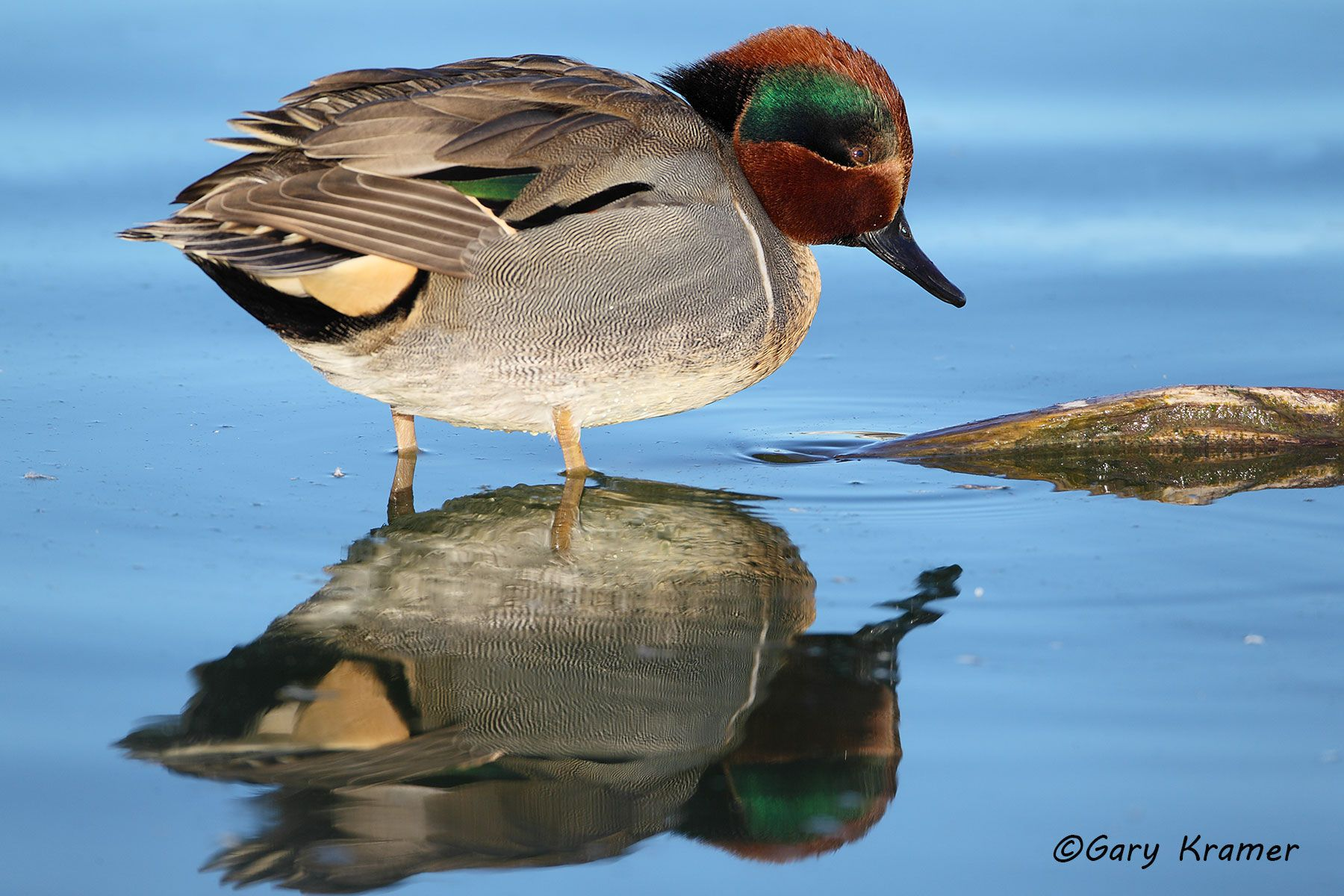 Green-winged Teal (Anas crecca) - NBWTg#1017d