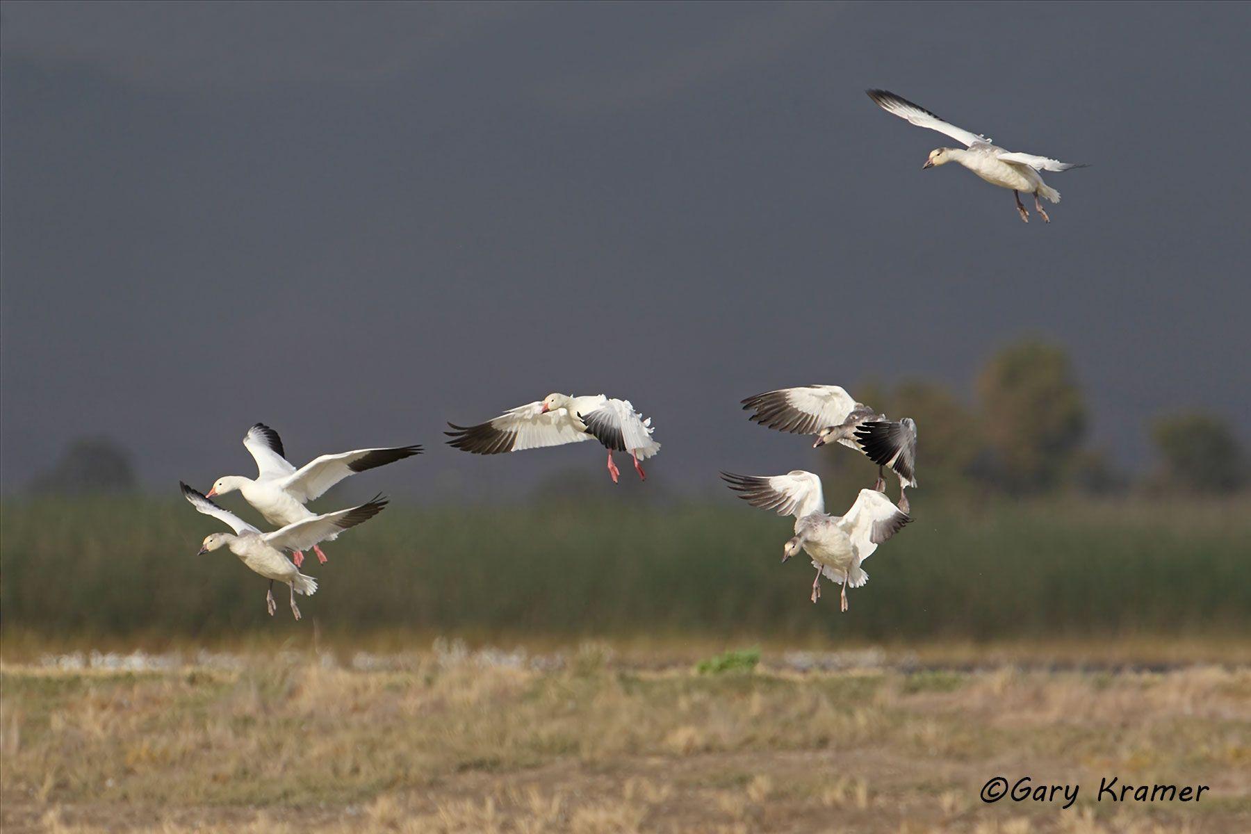 Lesser Snow Goose (Chen caerulescens) - NBWSg#1460d