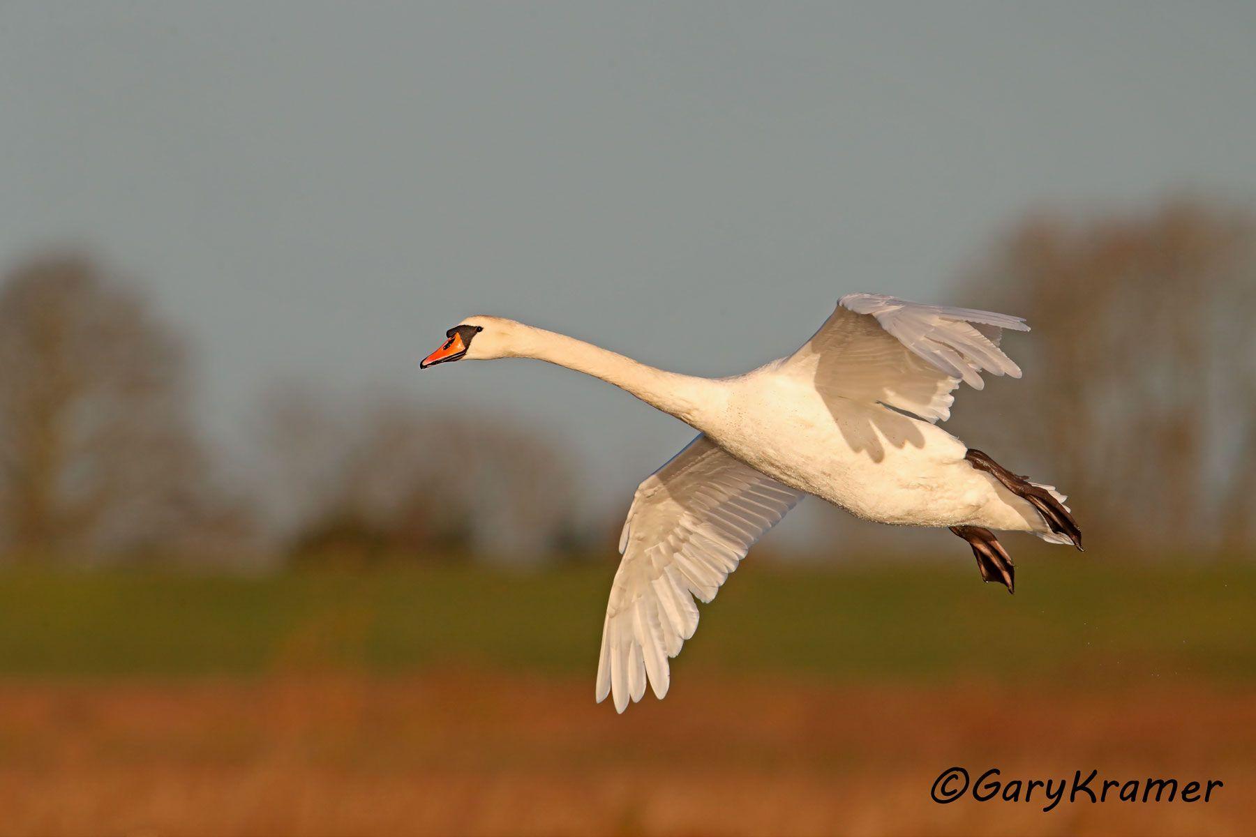 Mute Swan (Cygnus olor) - EBWS#123d