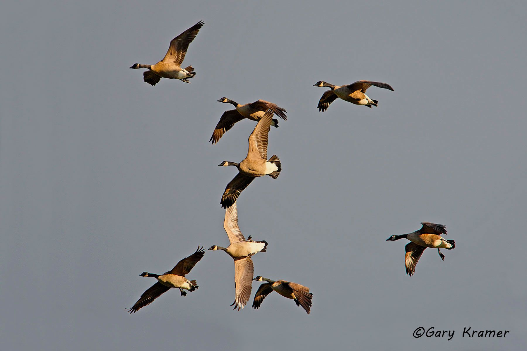 Canada Geese (Branta Canadensis) - NBWCg#573d