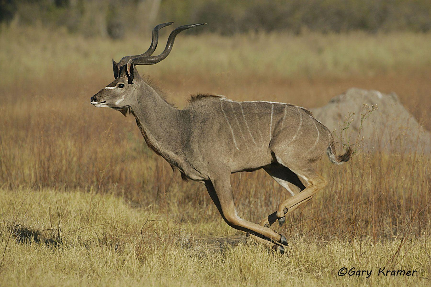 Greater Kudu (Tragelaphus strepsiceros) - AMUK#240d