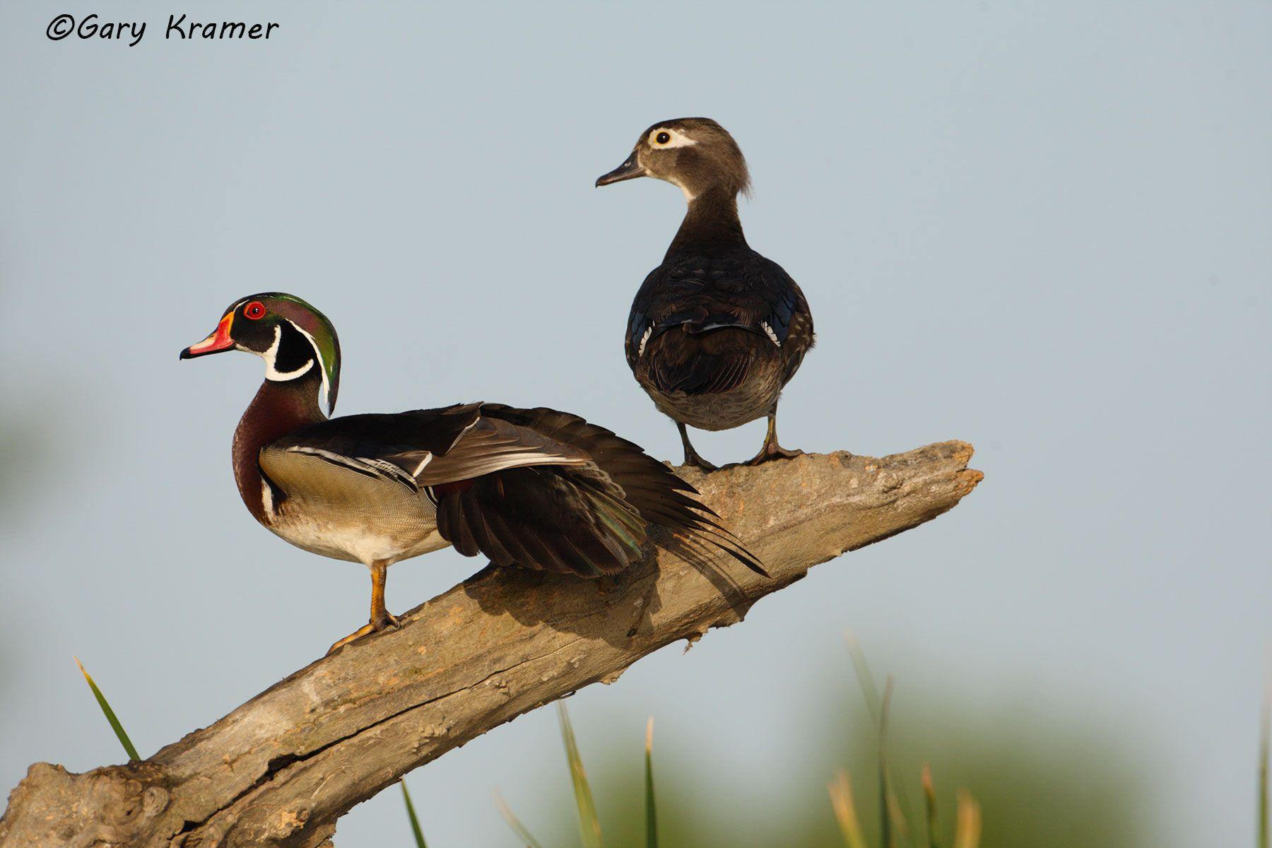 Wood Duck (Aix sponsa) - NBWWd#993d