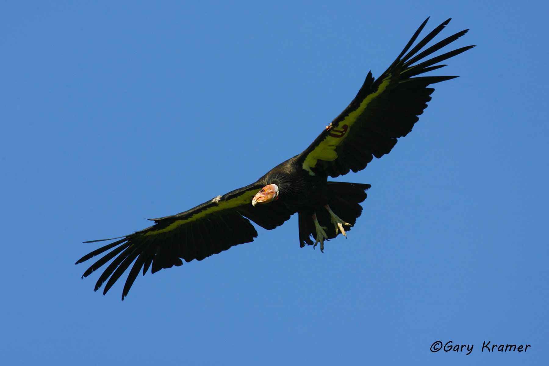 California Condor (Gymnogypus californianus)  - NBVC#352d