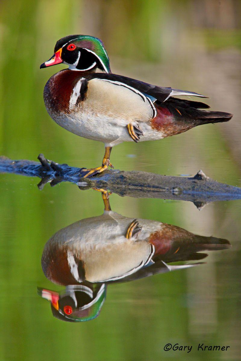 Wood Duck (Aix sponsa) - NBWWd#1021d