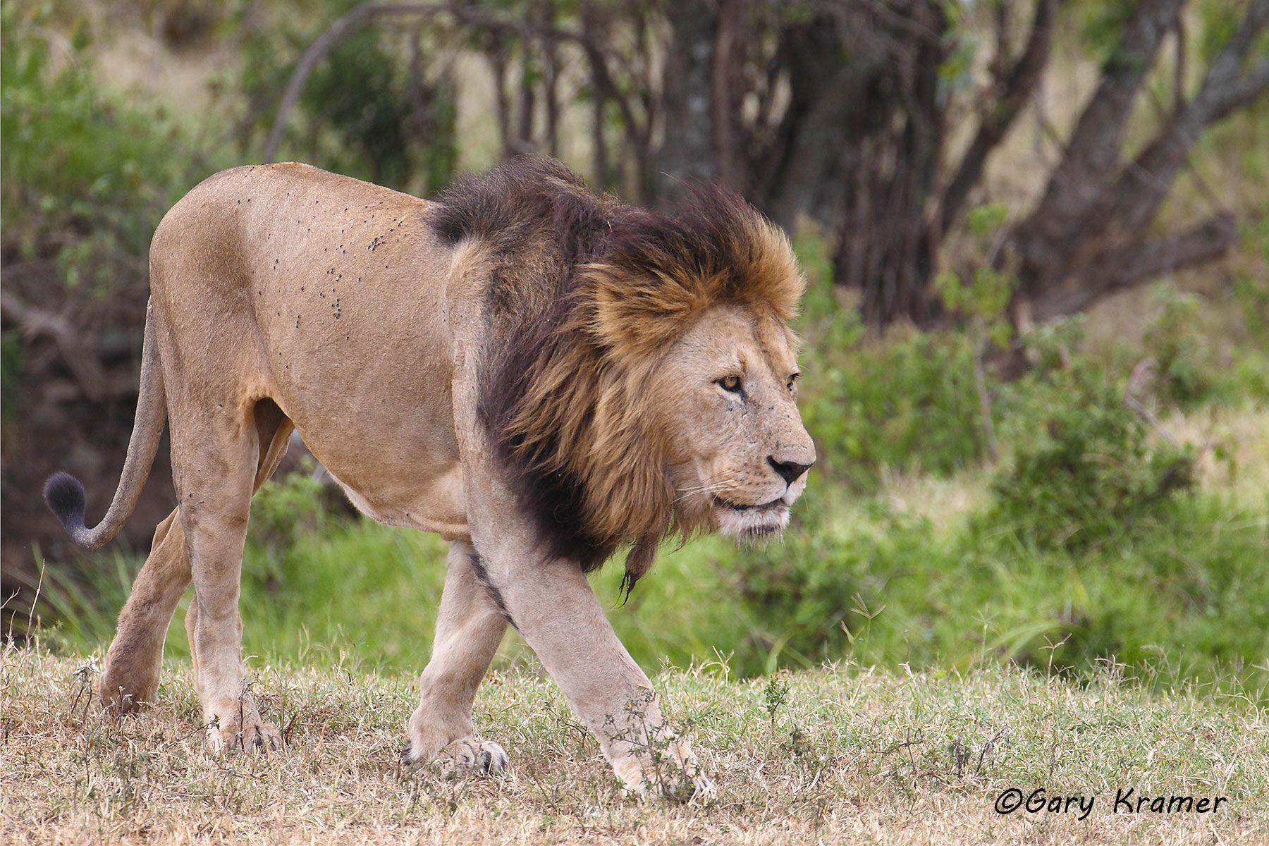 African Lion (Panthera leo) - AMPA#753d