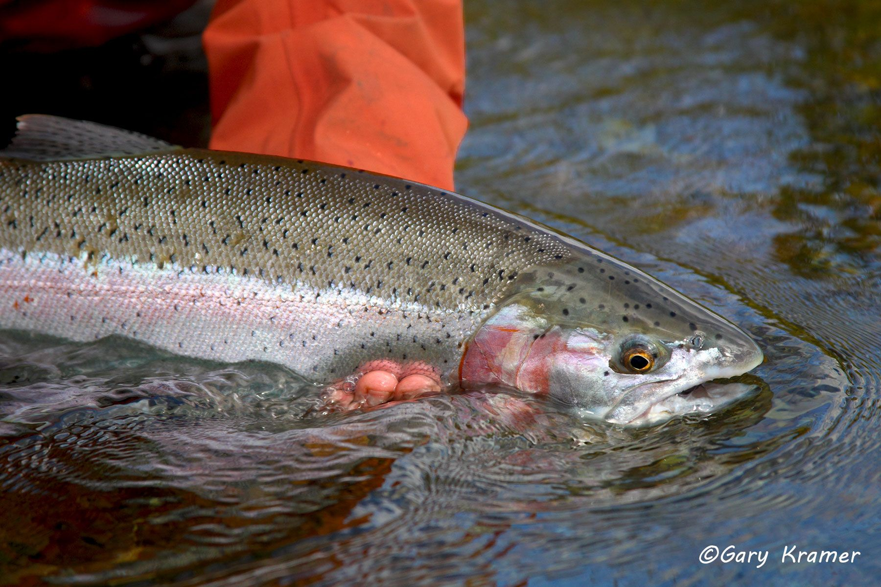 Rainbow Trout (Salmo gairdnerii) - NFTRx#037d
