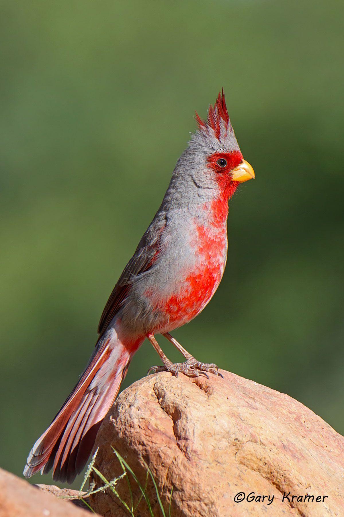 Pyrrhuloxia (Cardinalis sinuatus) - NBTP#183d(2)