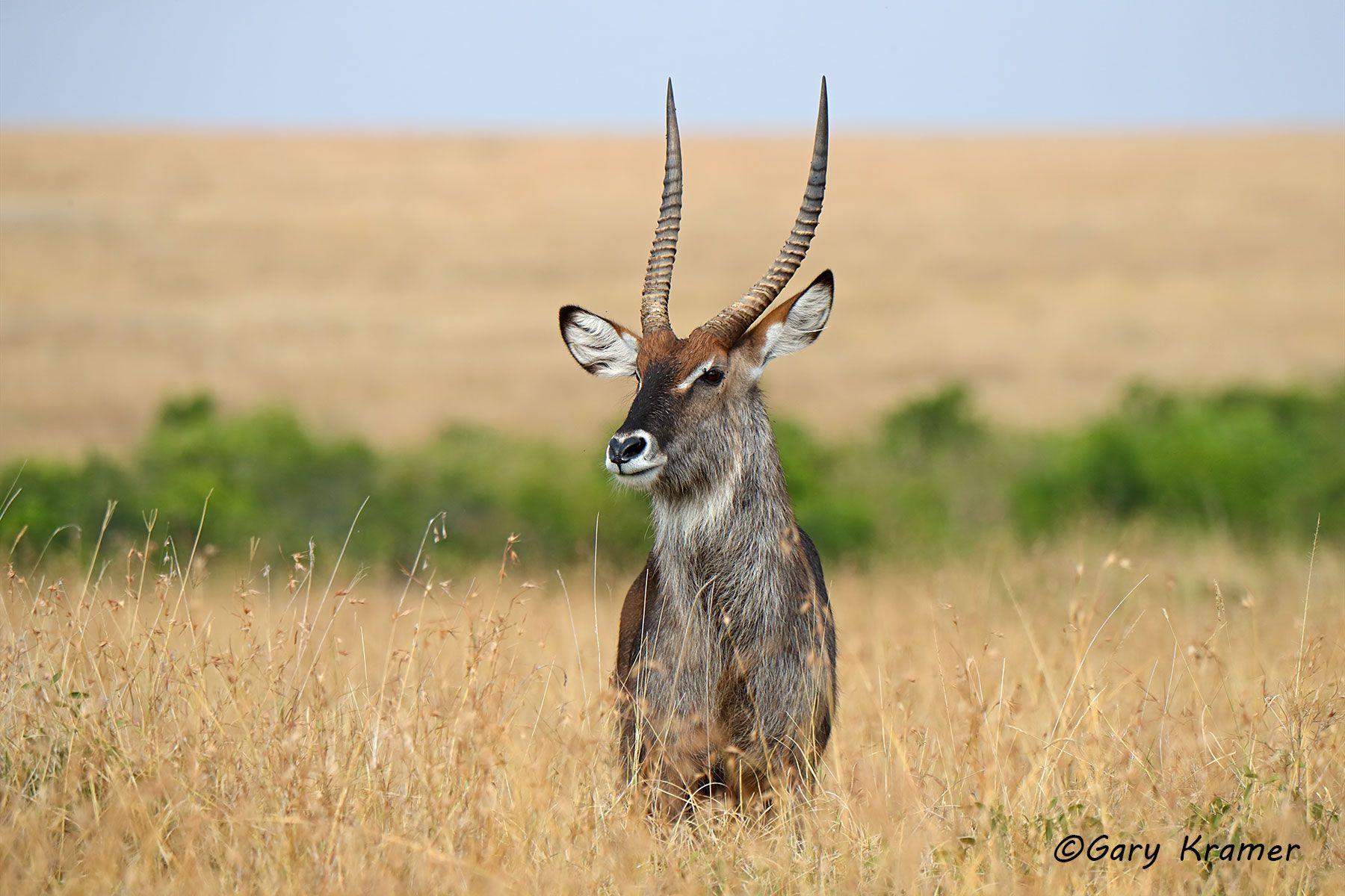 Defassa Waterbuck (Kobus ellipsiprymnus defassa) - AMUWd#116d