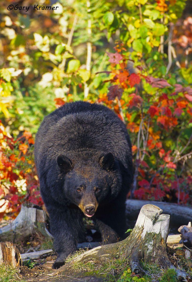 Black Bear (Urusus americanus) - NMBb#181d
