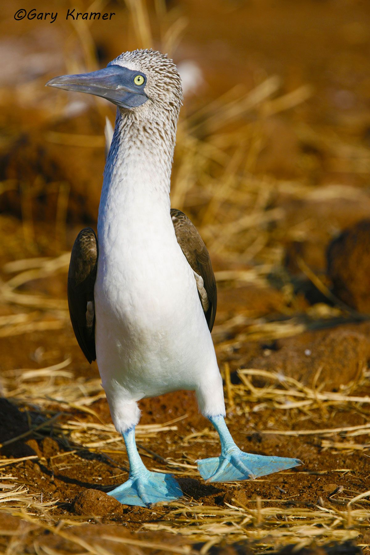 Blue-footed Booby (Sula nebouxii) - NBBB#069d.jpg